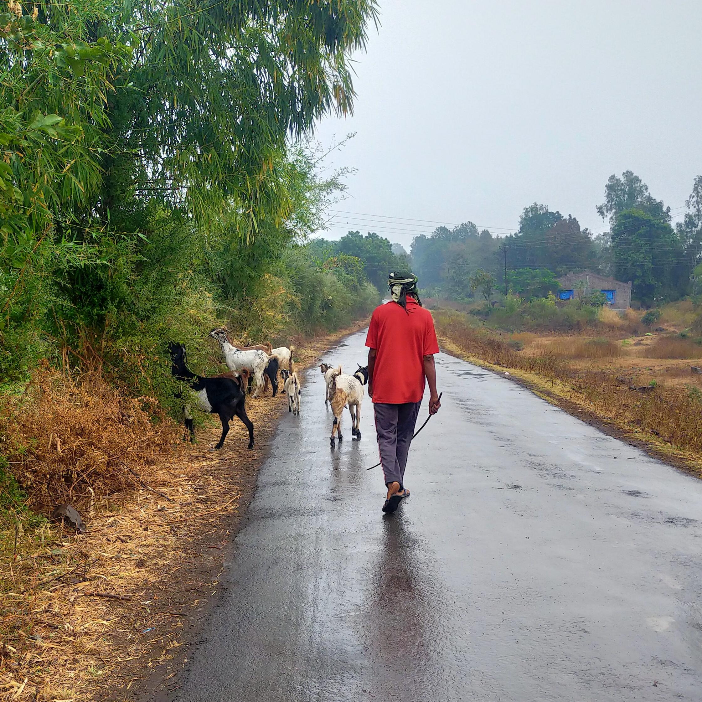 shepherd with goats