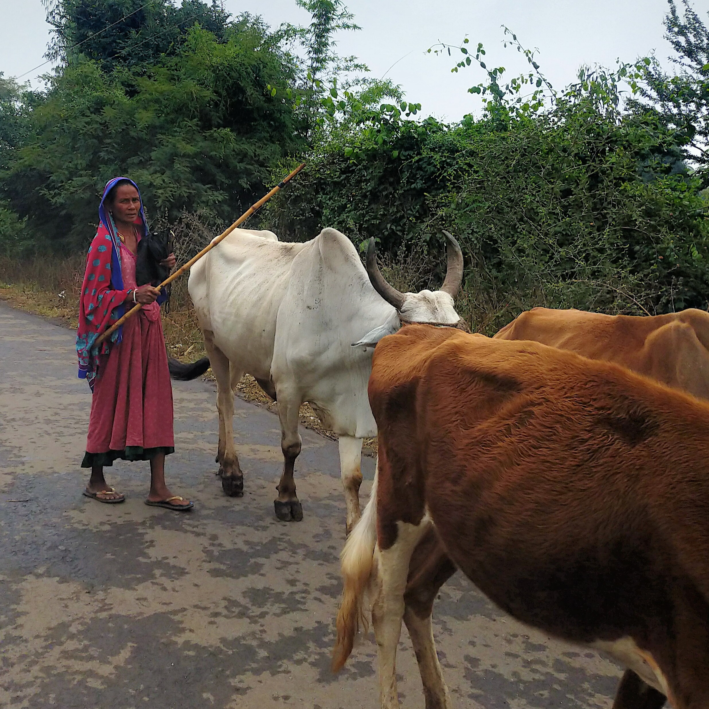 A village woman with cattle