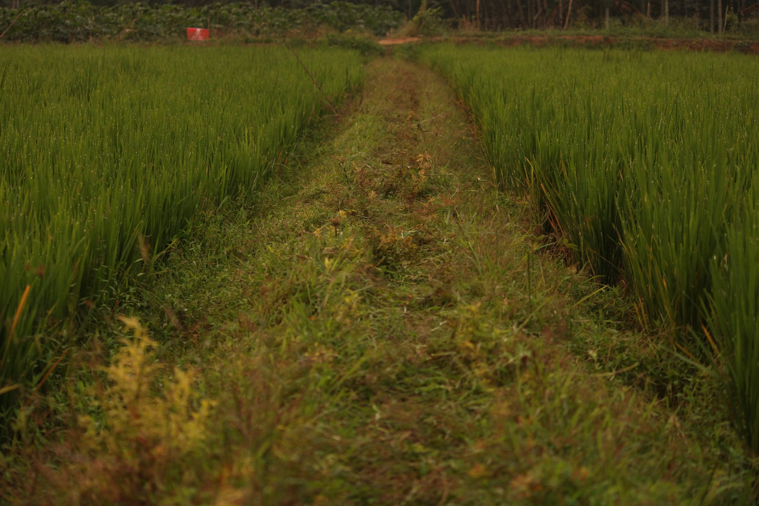A way between paddy fields