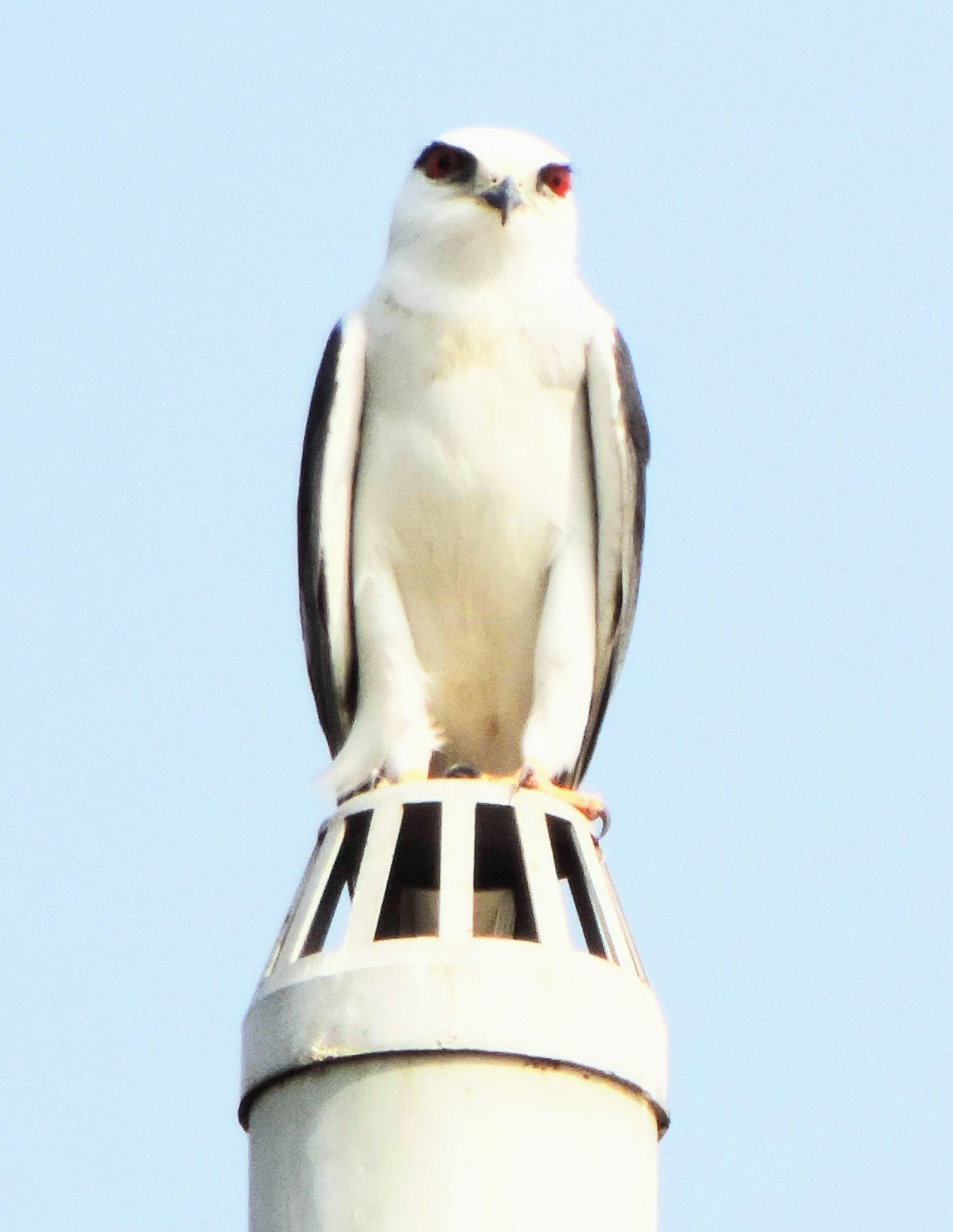 Black winged Kite on a pipe