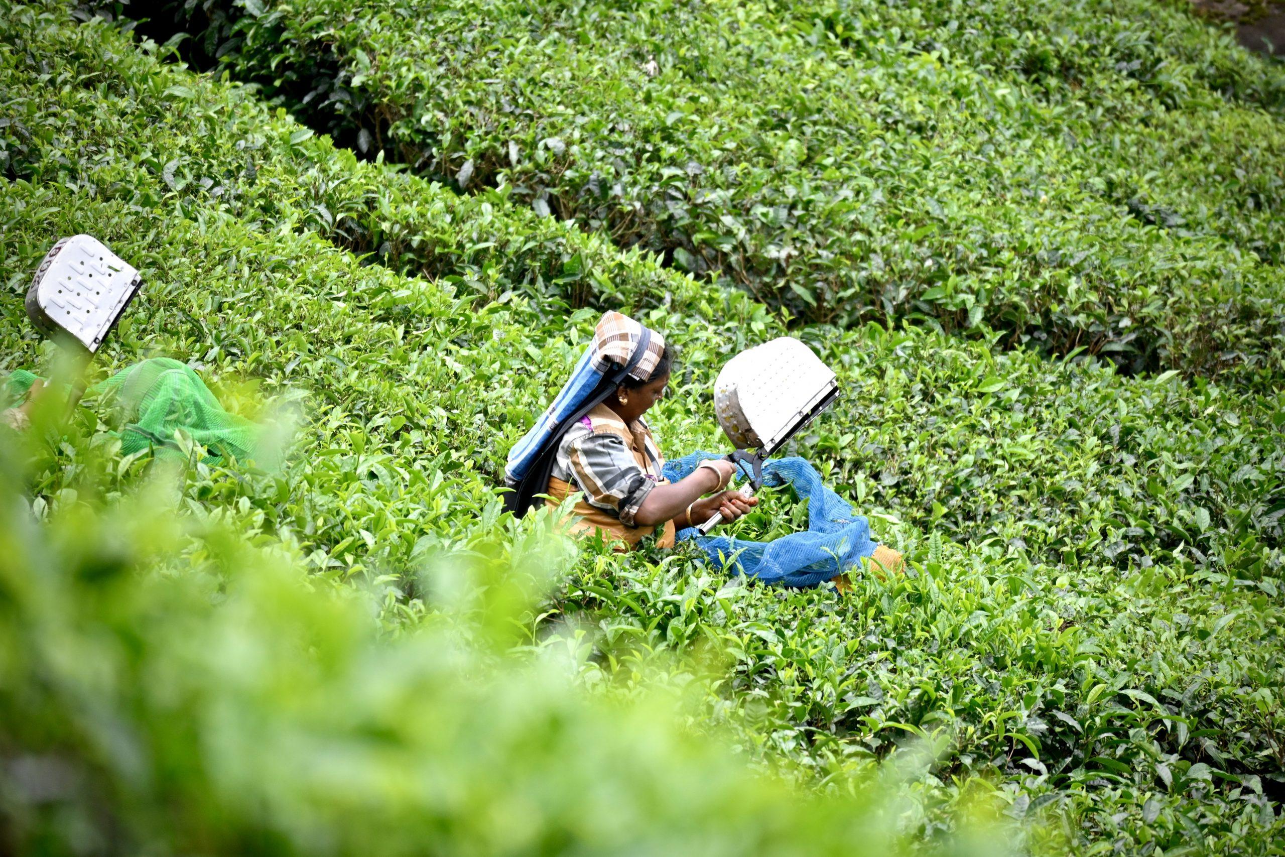 A woman in a tea garden