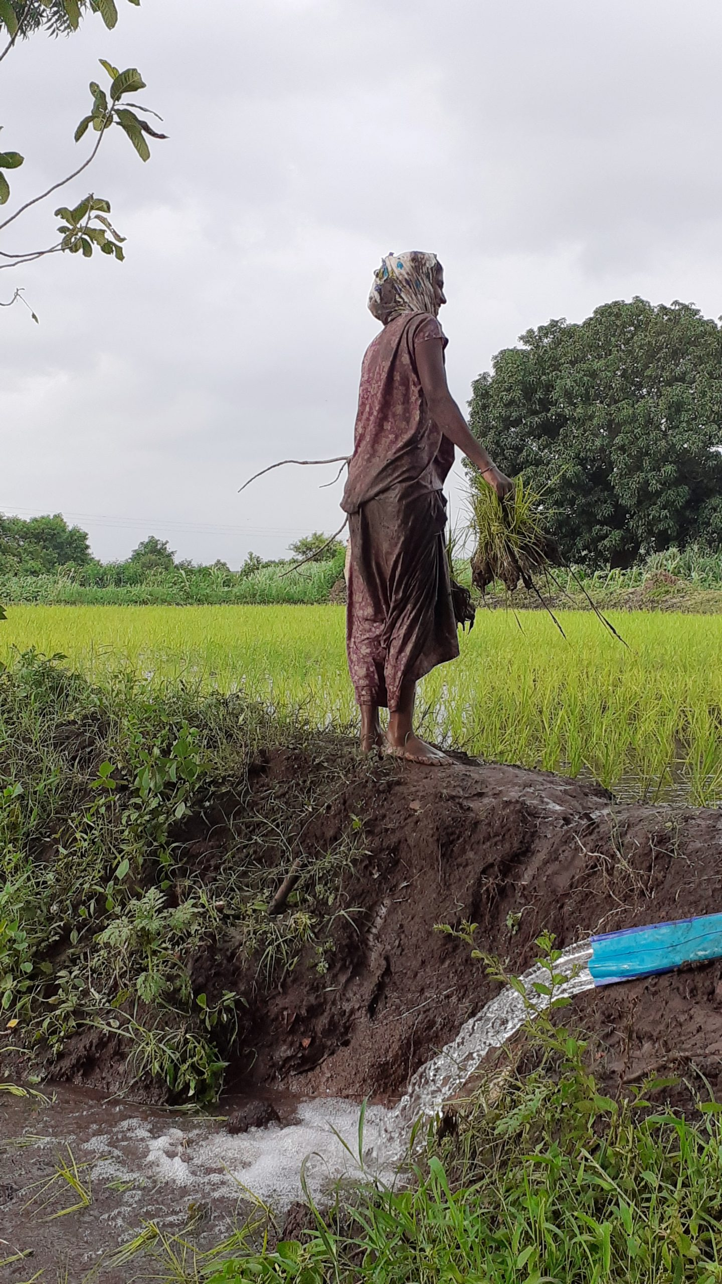 A woman working in Paddy field