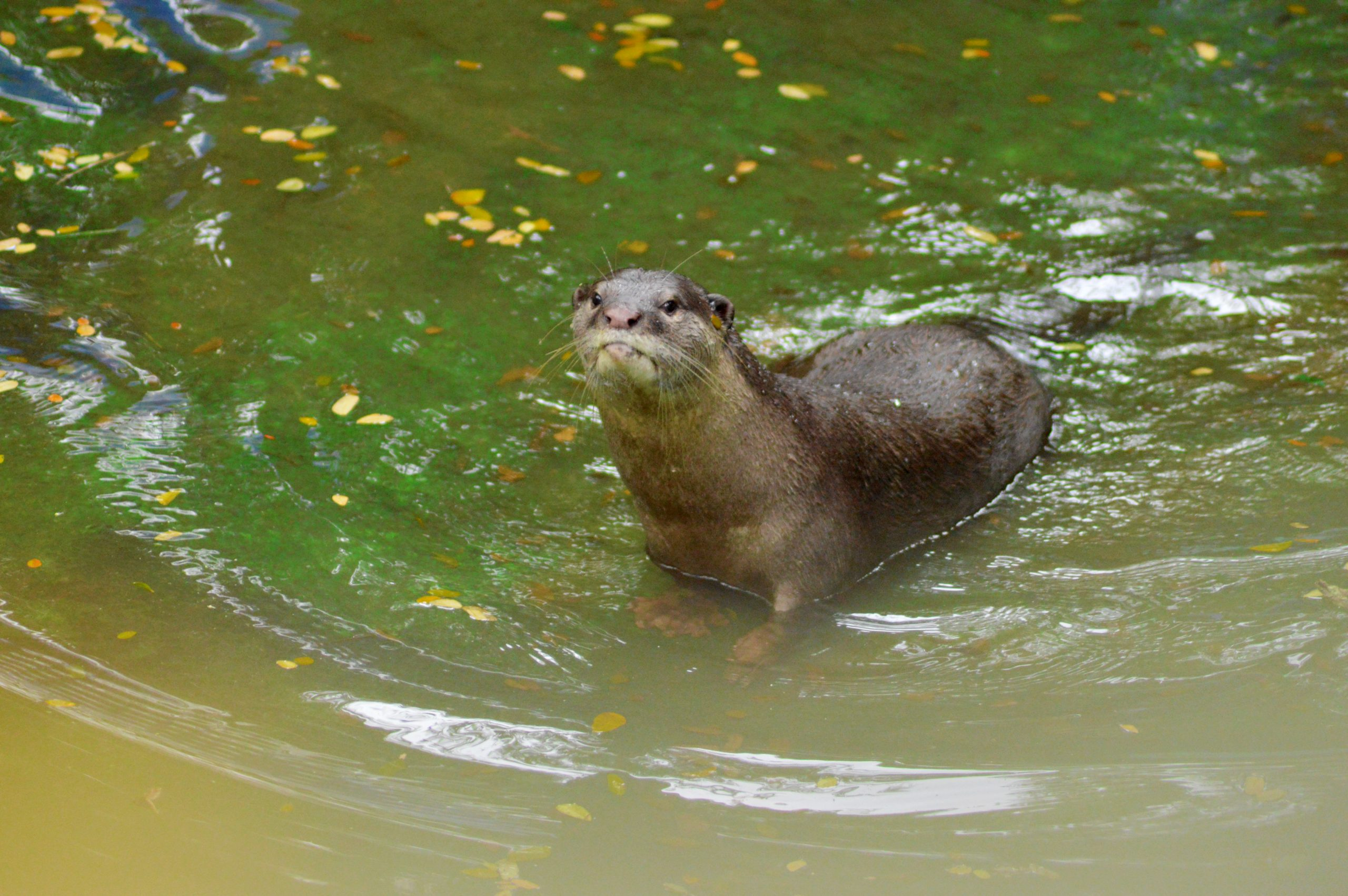 An otter in water