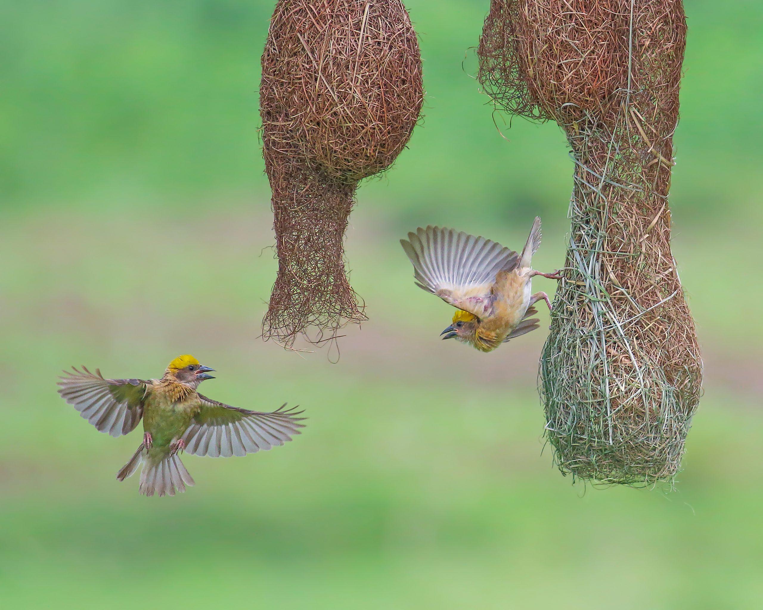 Baya weaver birds around their nest