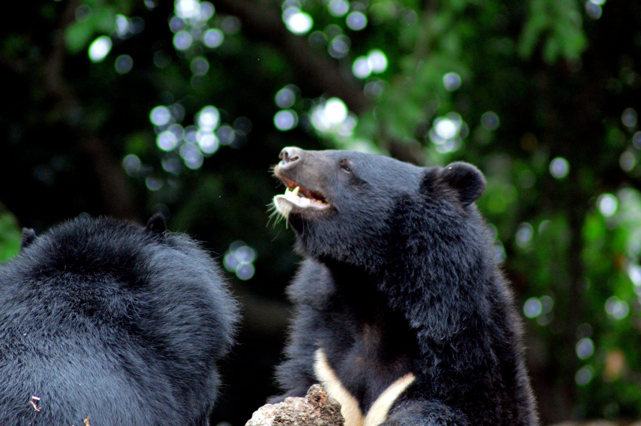 Bears in a jungle