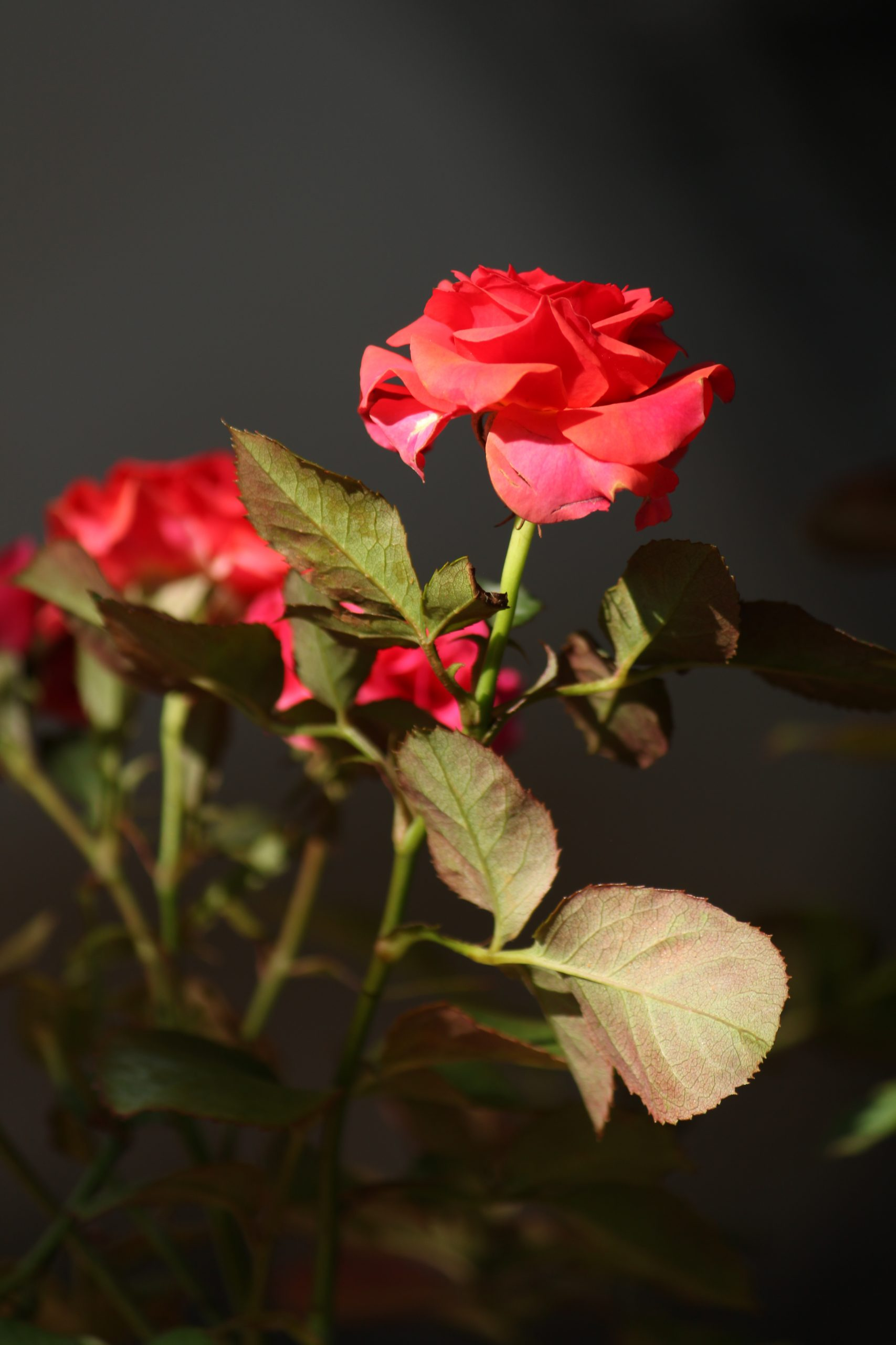 Beauty of Red Rose
