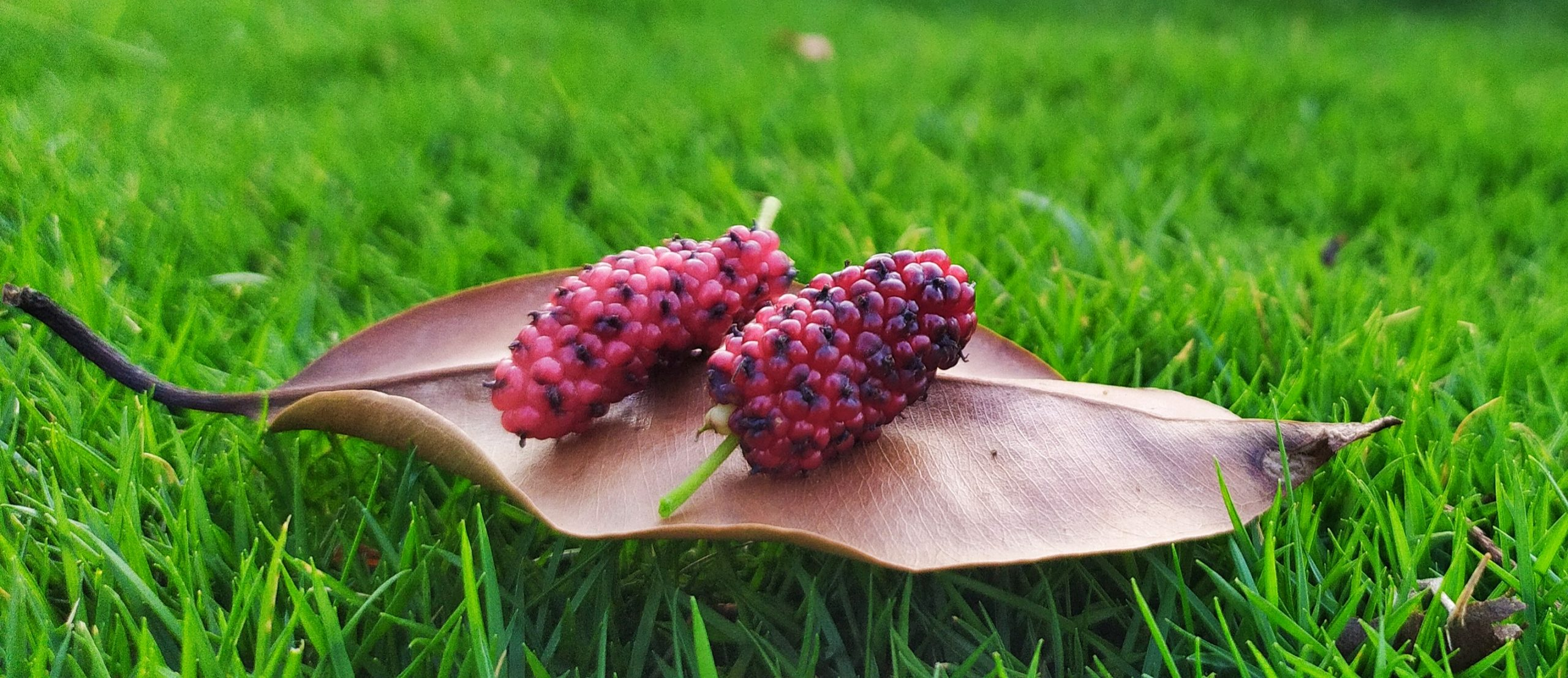 Mulberries on a leaf