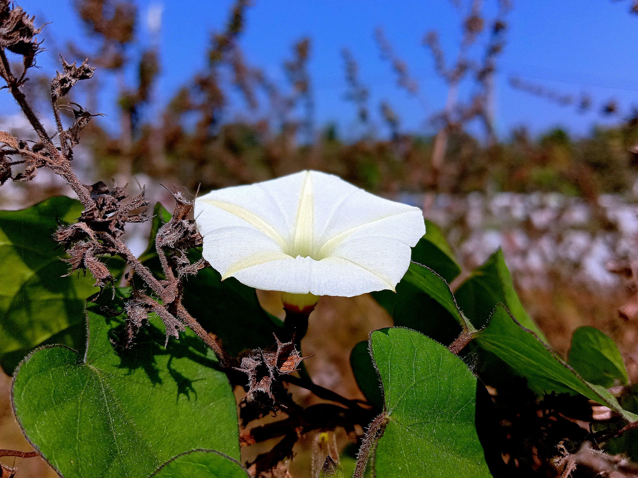 Blooming Ipomoea Obscura