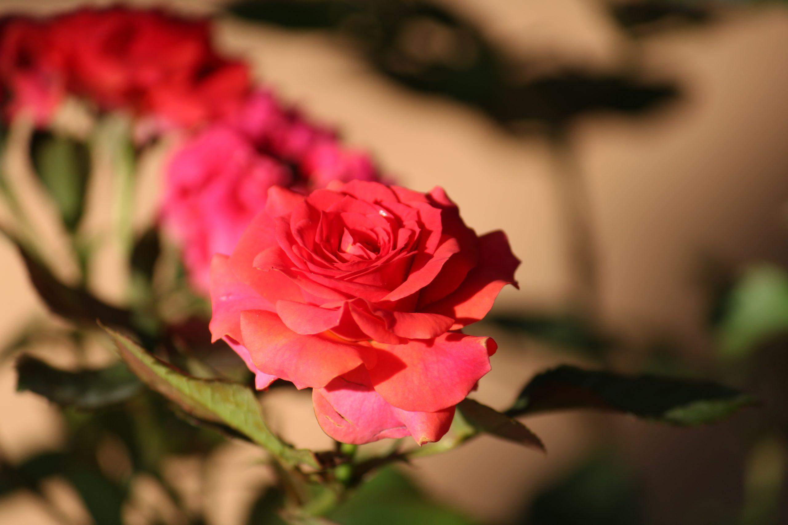 Blooming Red Rose