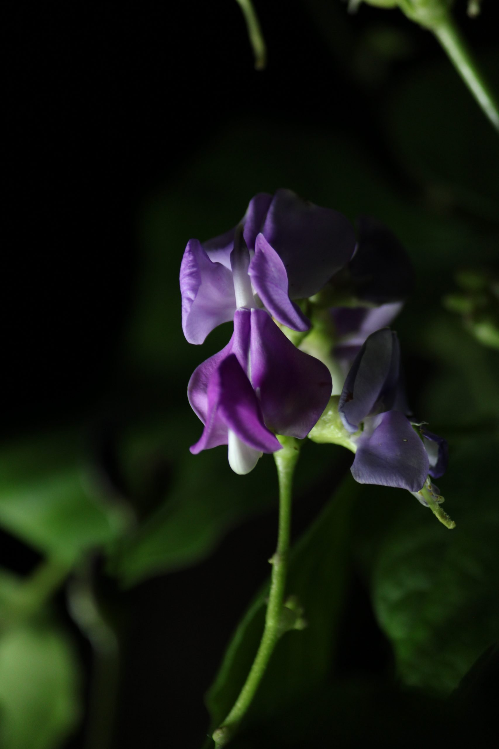 Blooming Violet Flower