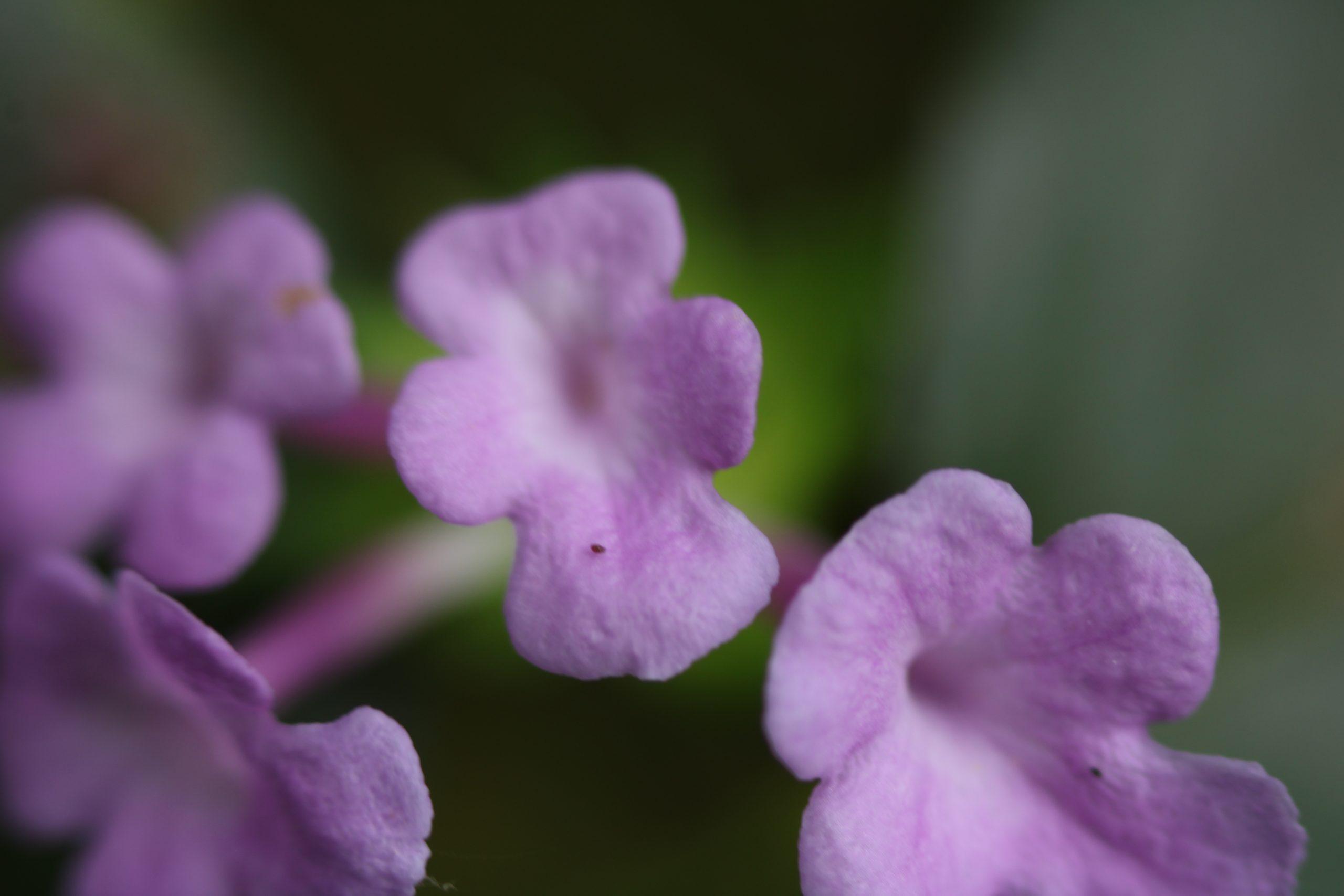 Blooming Violet Flowers