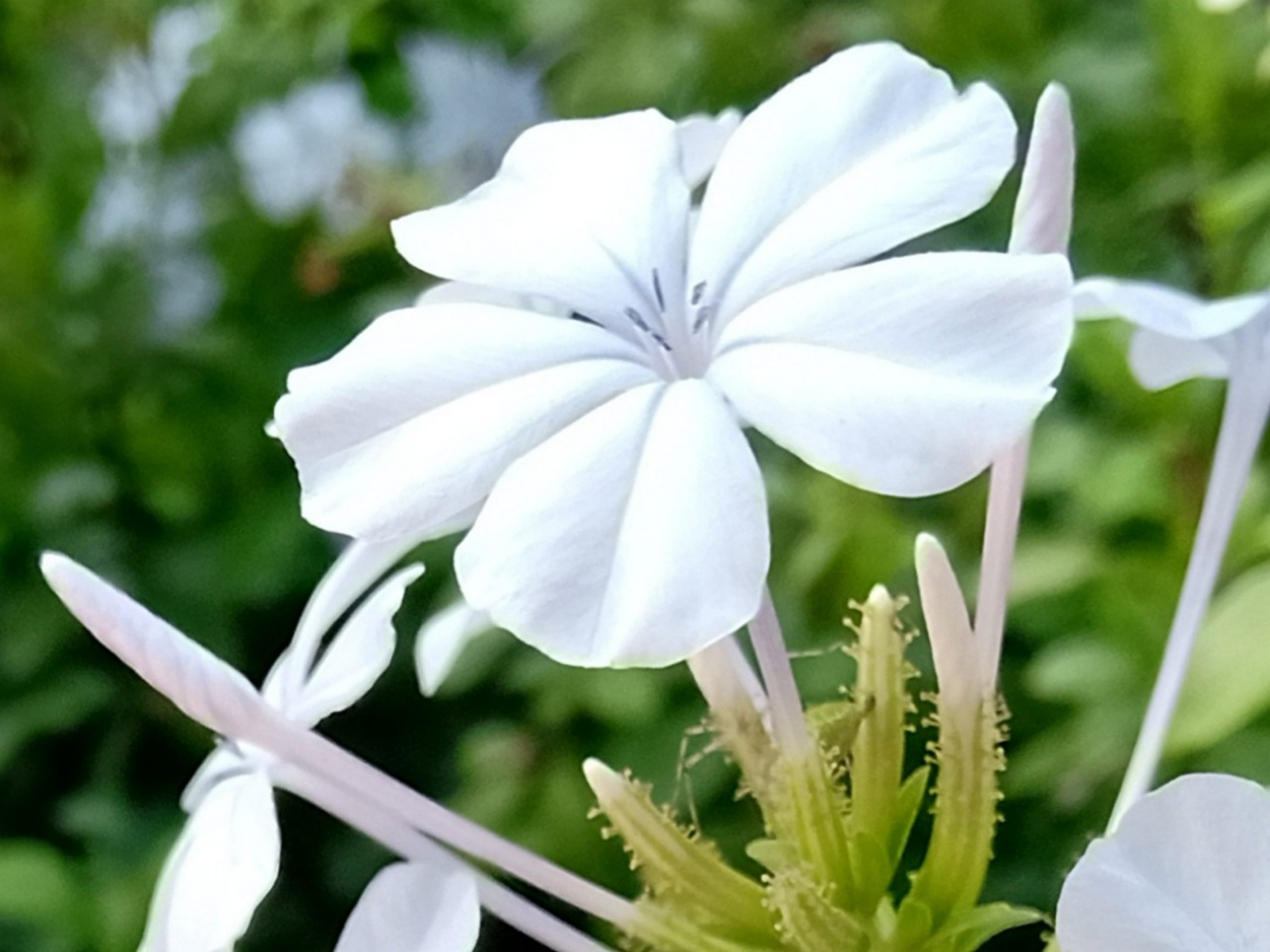 Blooming White Flower