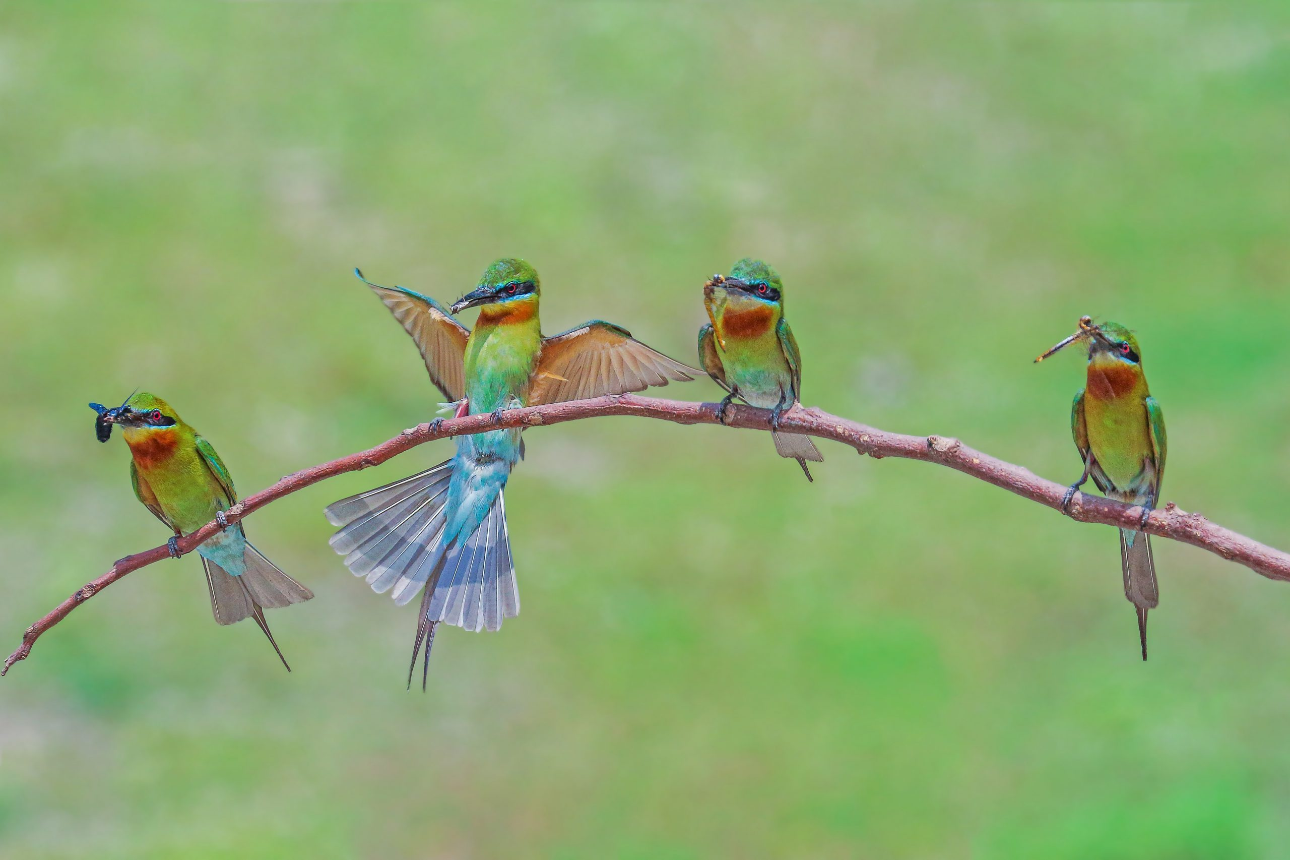 Blue tailed bee eater birds on a branch