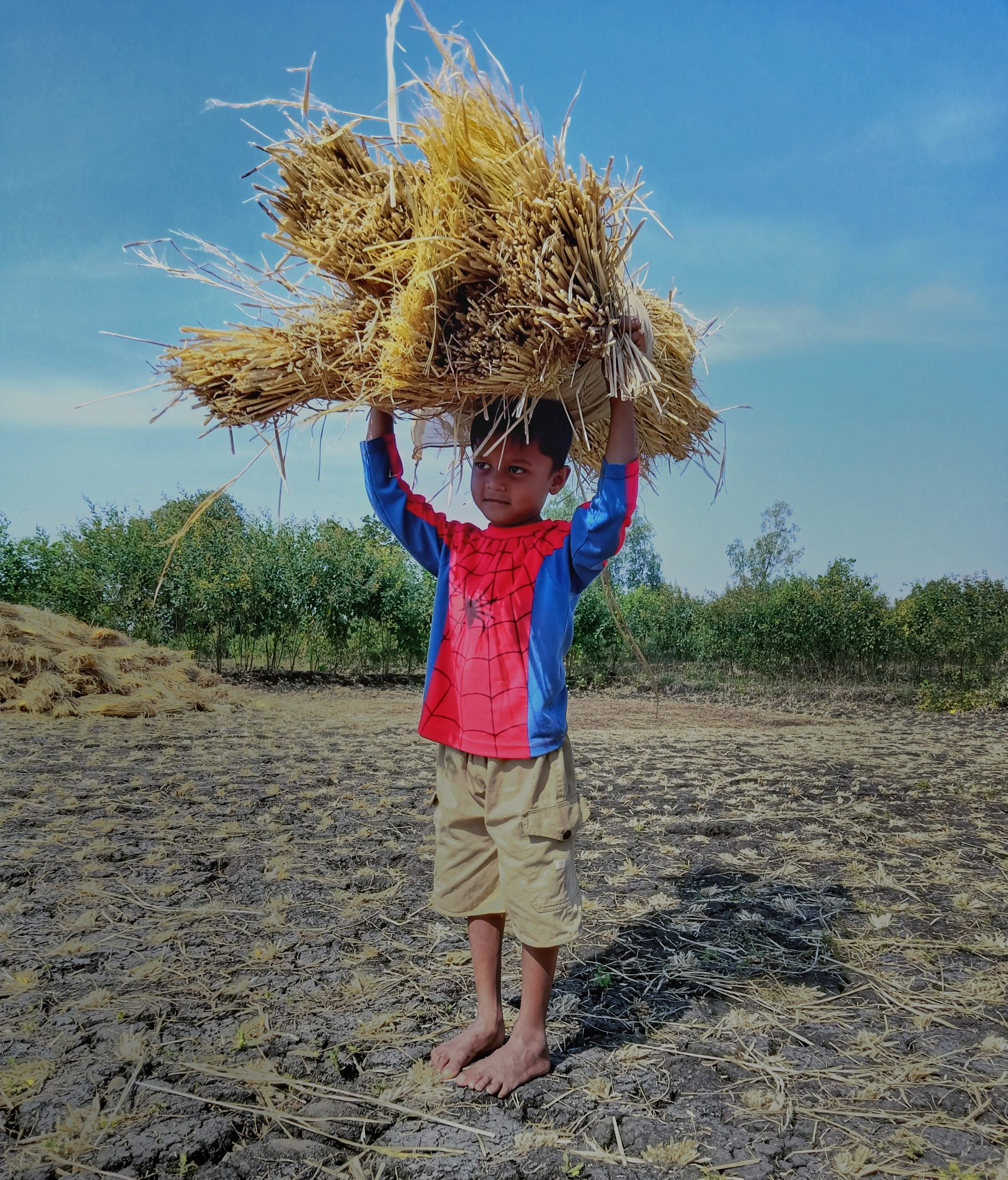 A little boy carrying rice plants
