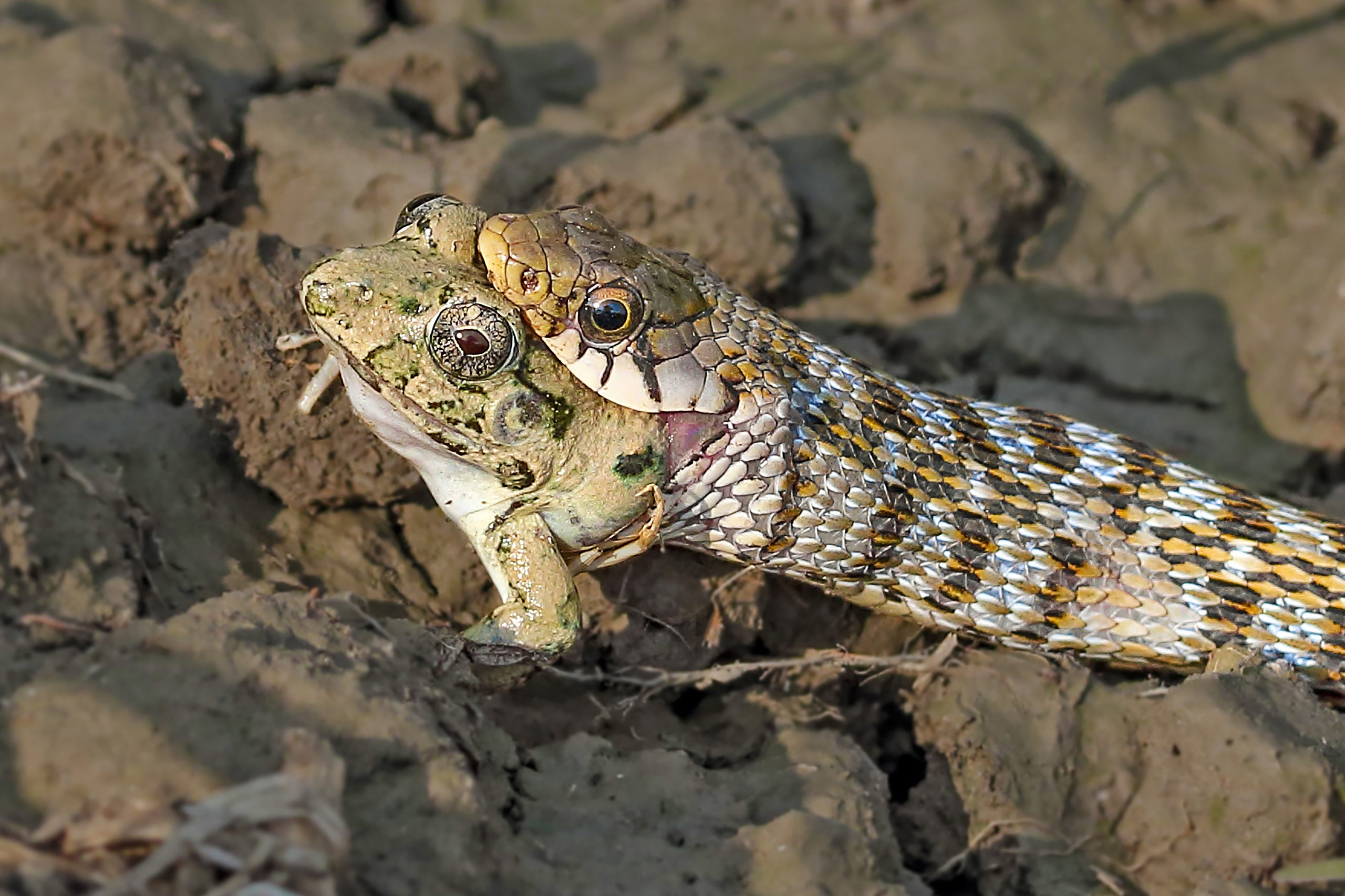 Snake catching a frog in mouth