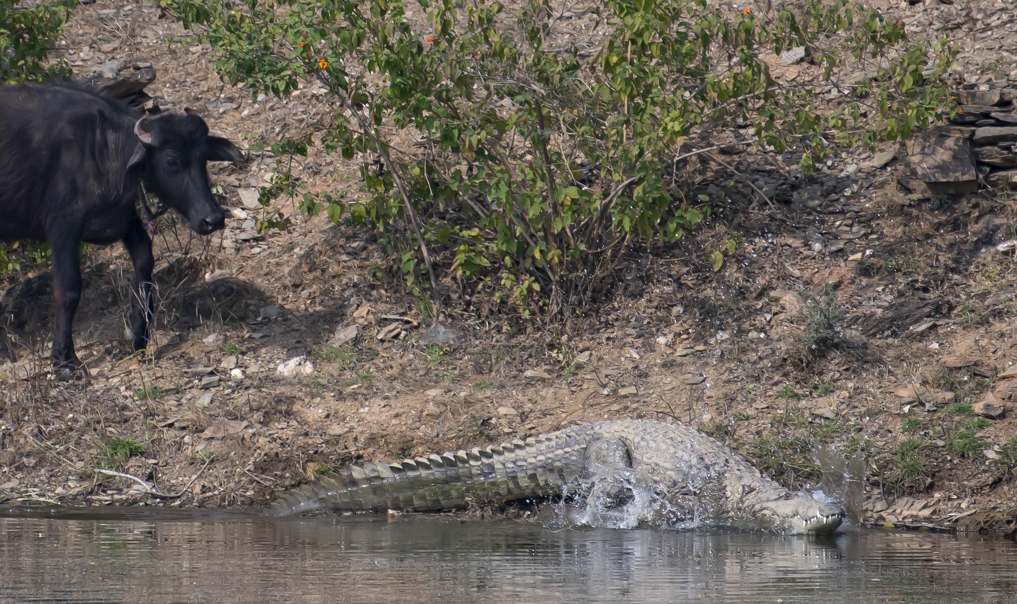 Buffalo looking at crocodile
