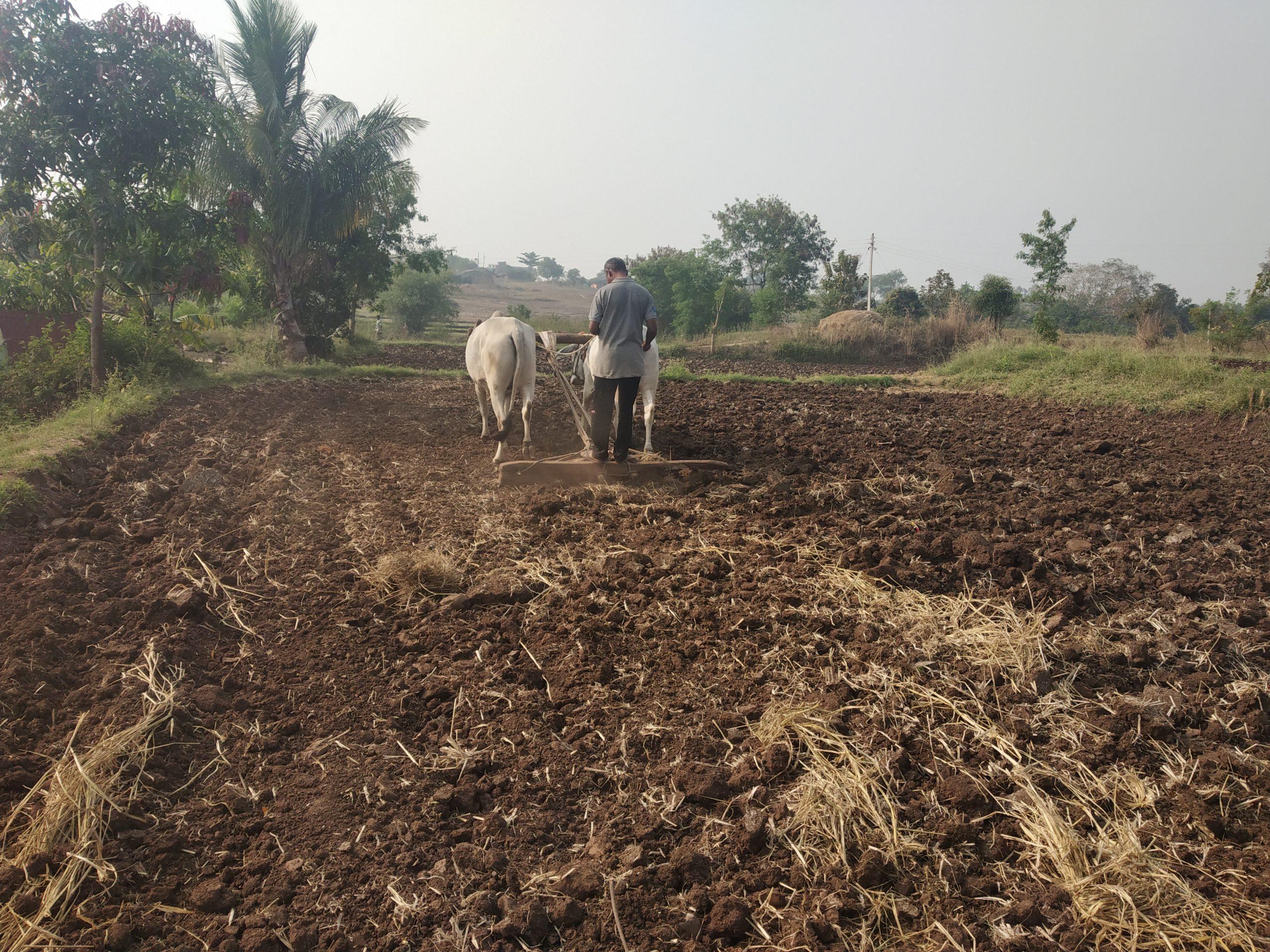farmer ploughing the field using bull