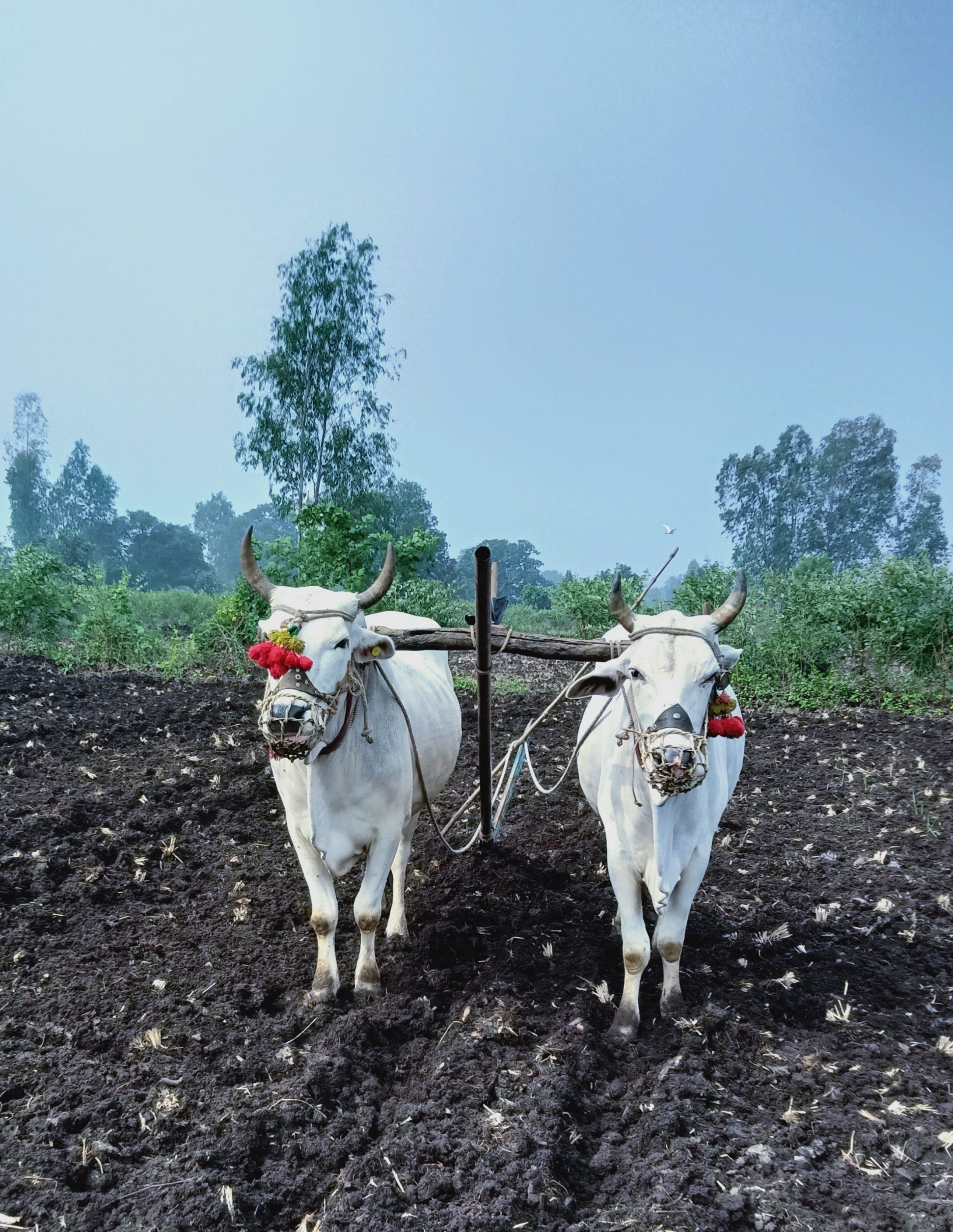 Bullocks in a field