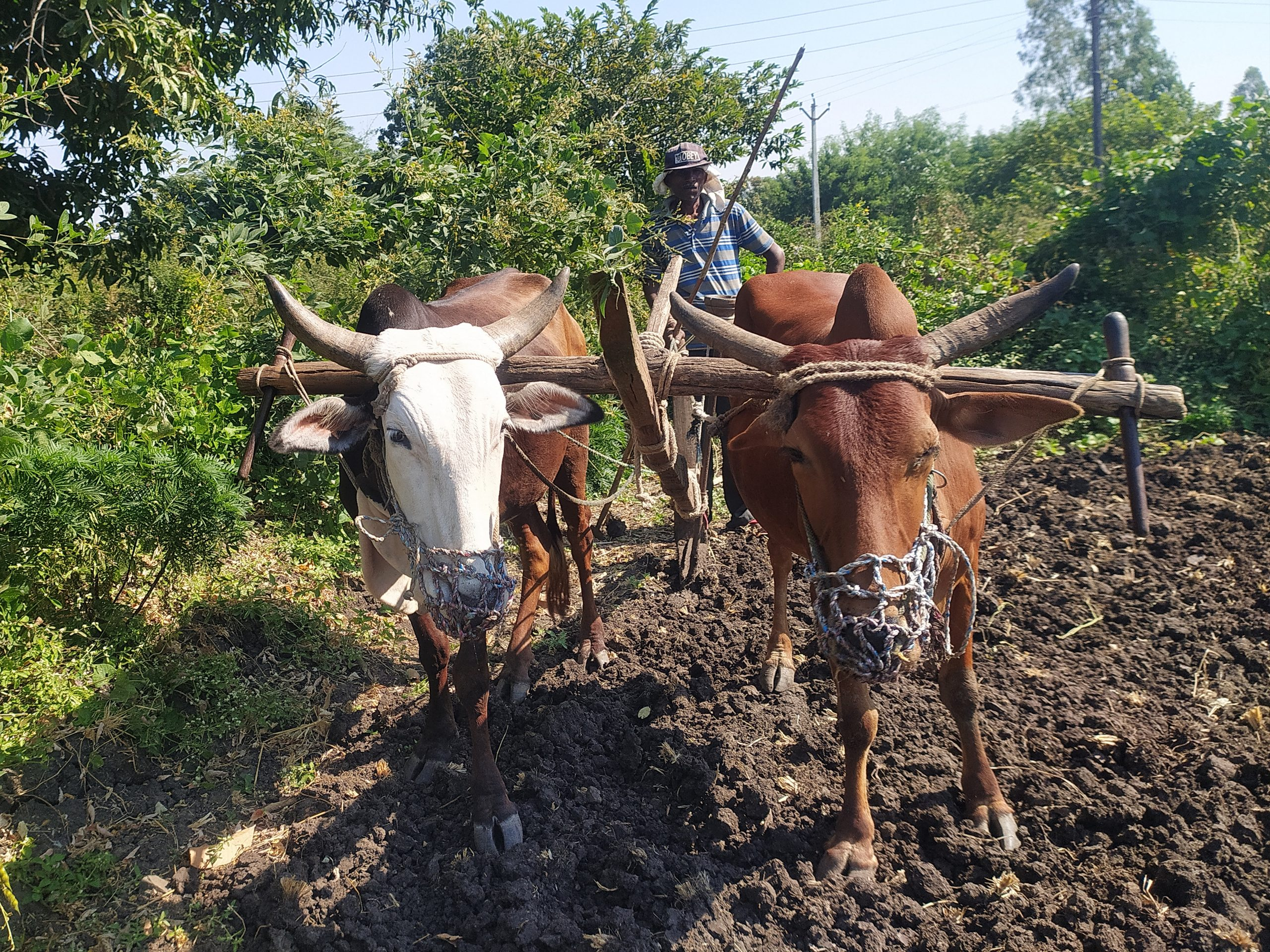 A farmer ploughing with oxen