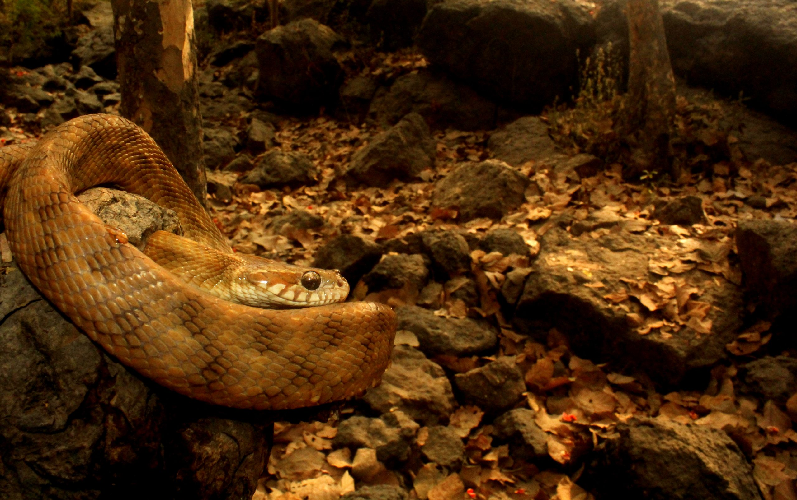 Cat Snake Close-up