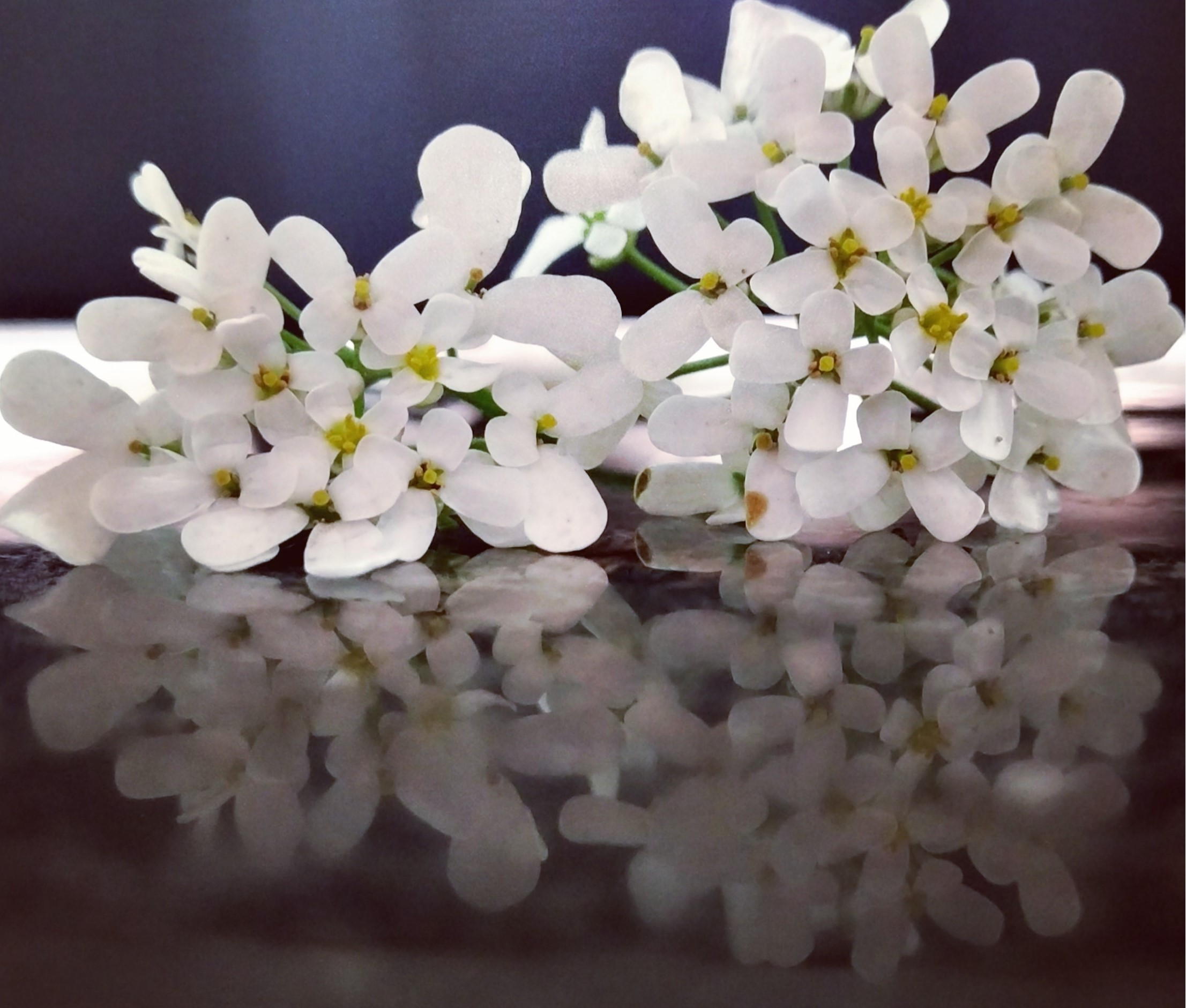 Candytuft Flowers