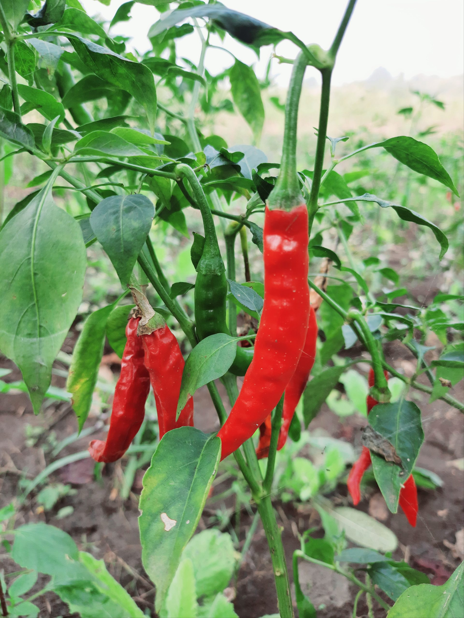 chillies on a plant
