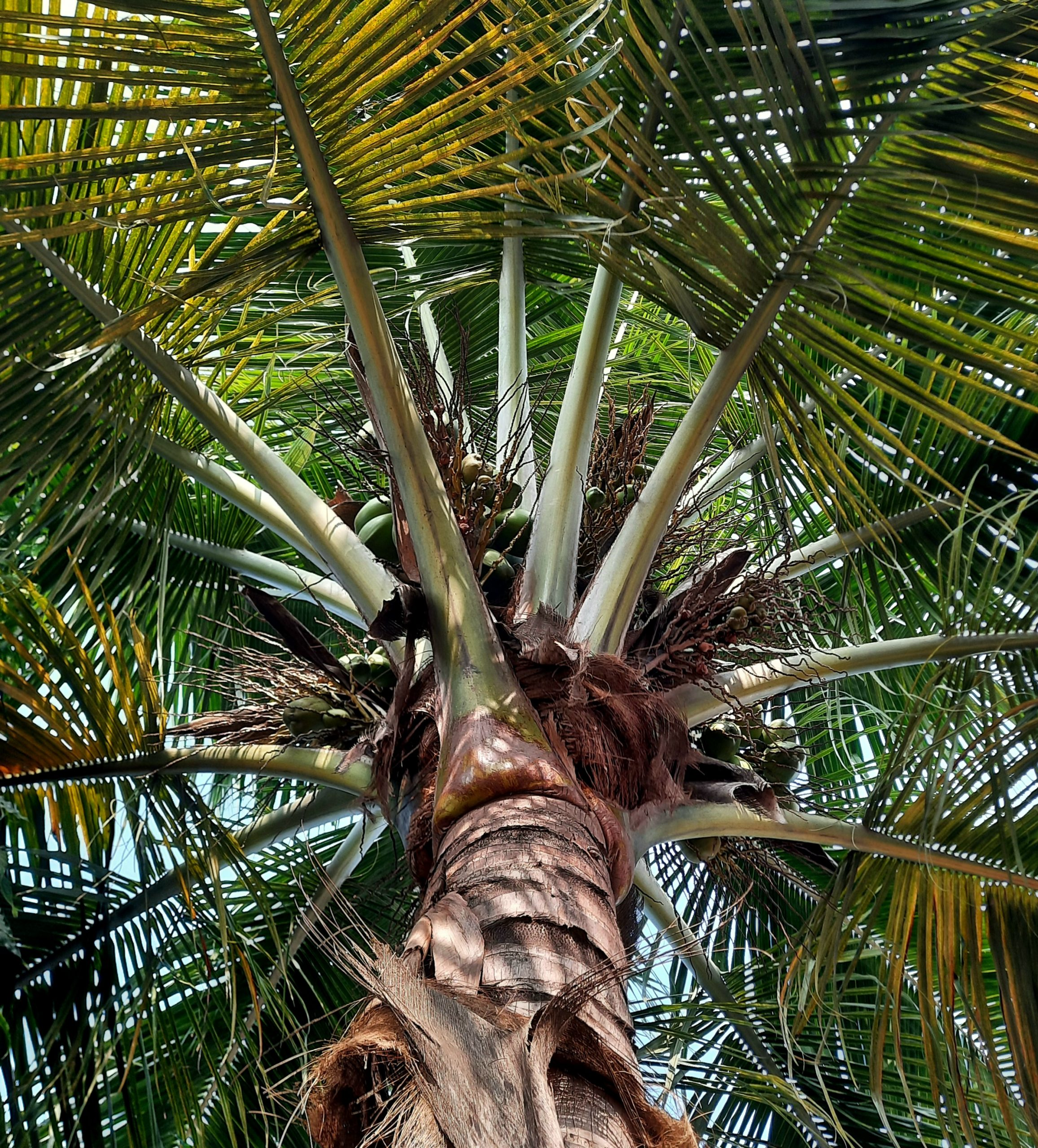 Branches of a coconut tree