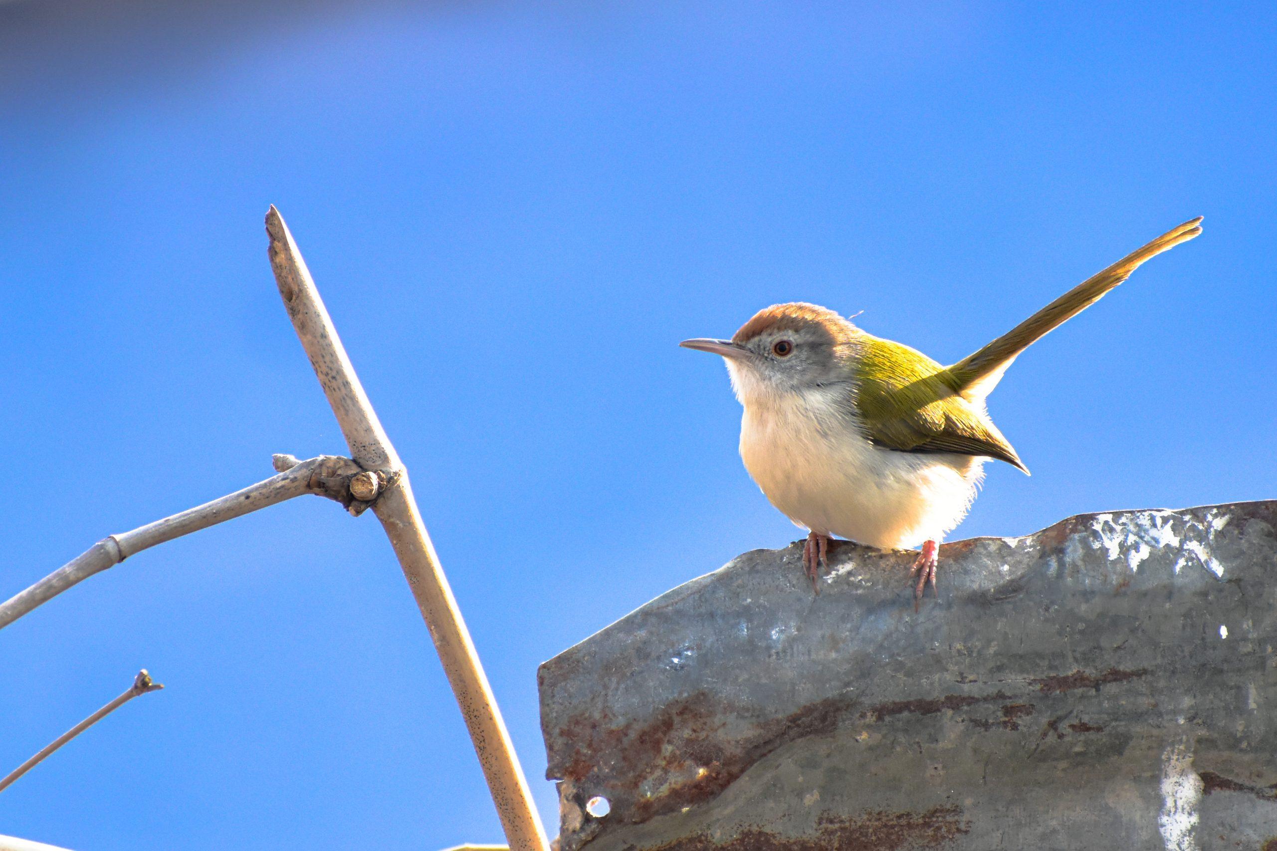 Tailor bird sitting on rock.