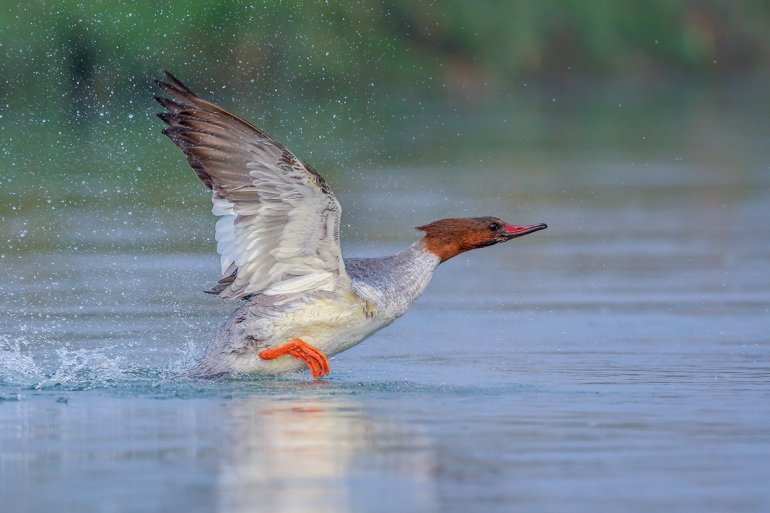 Merganser flying over the water