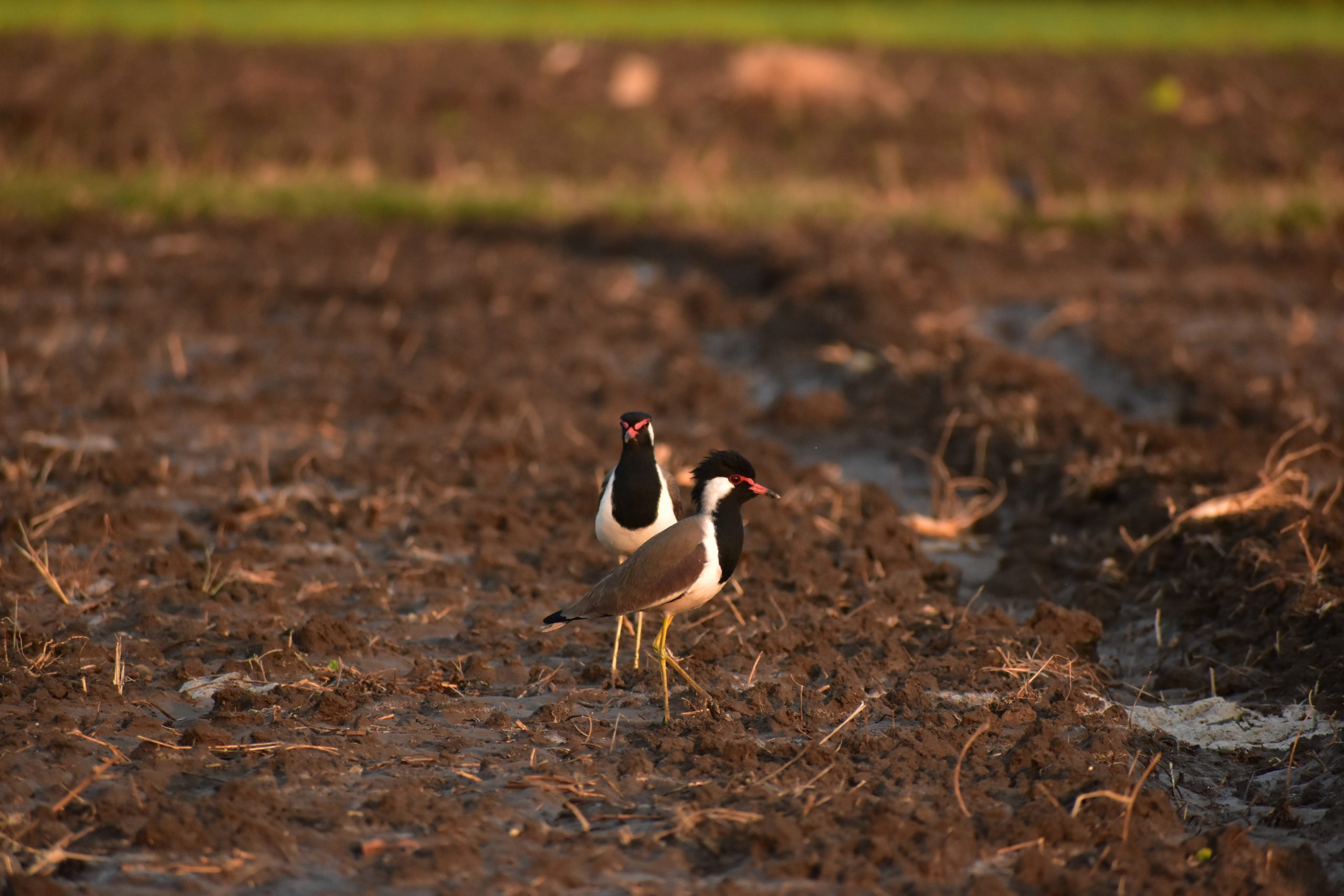 Red-wattled lapwing birds