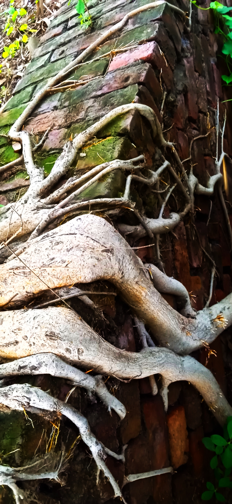 Roots of climber plant on a wall