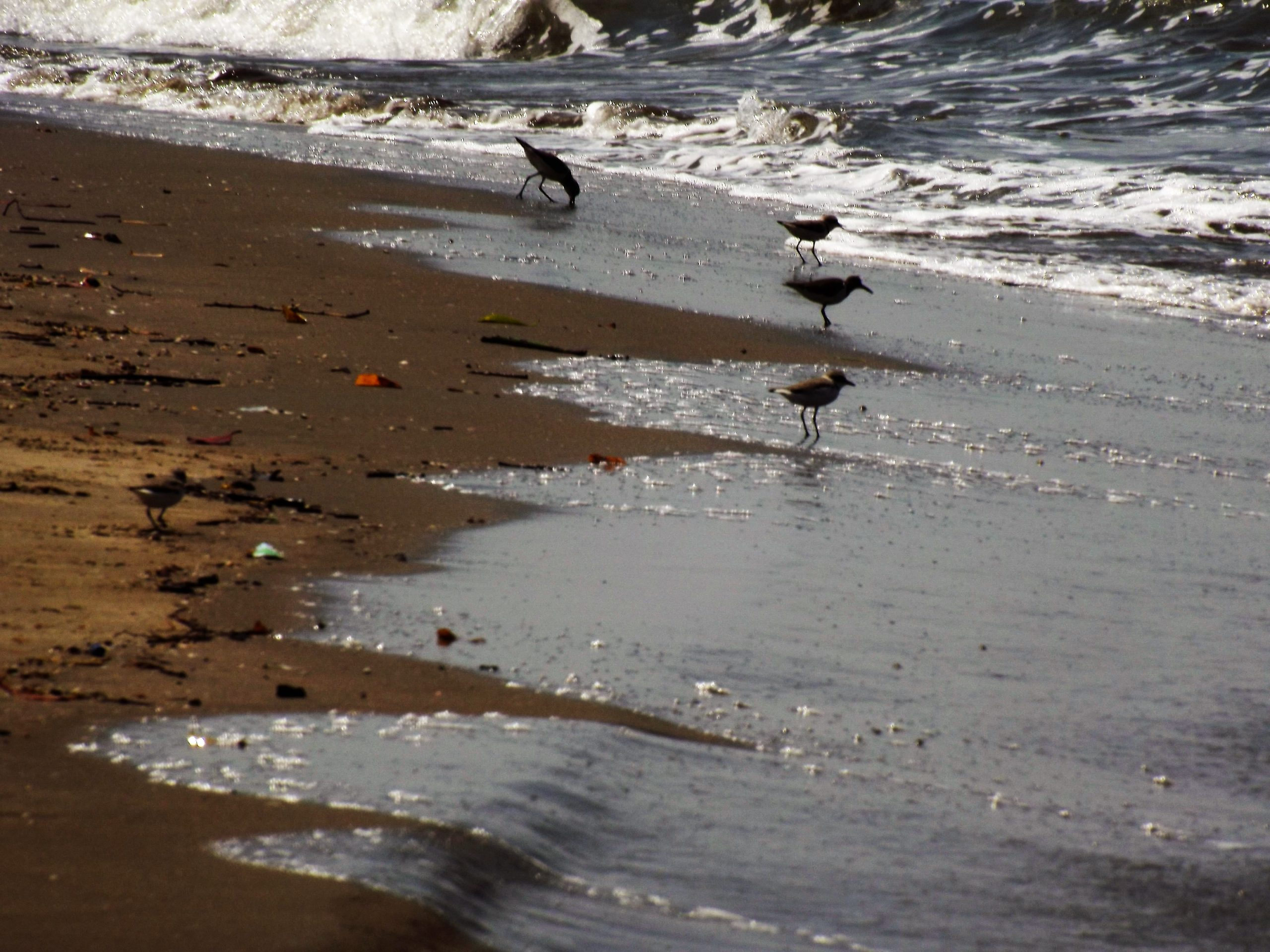 Crows at a beach in Goa