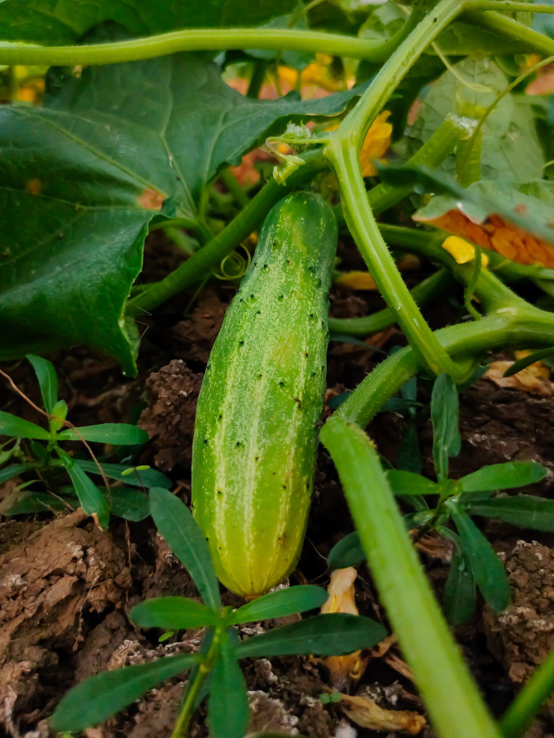 cucumber on a vine