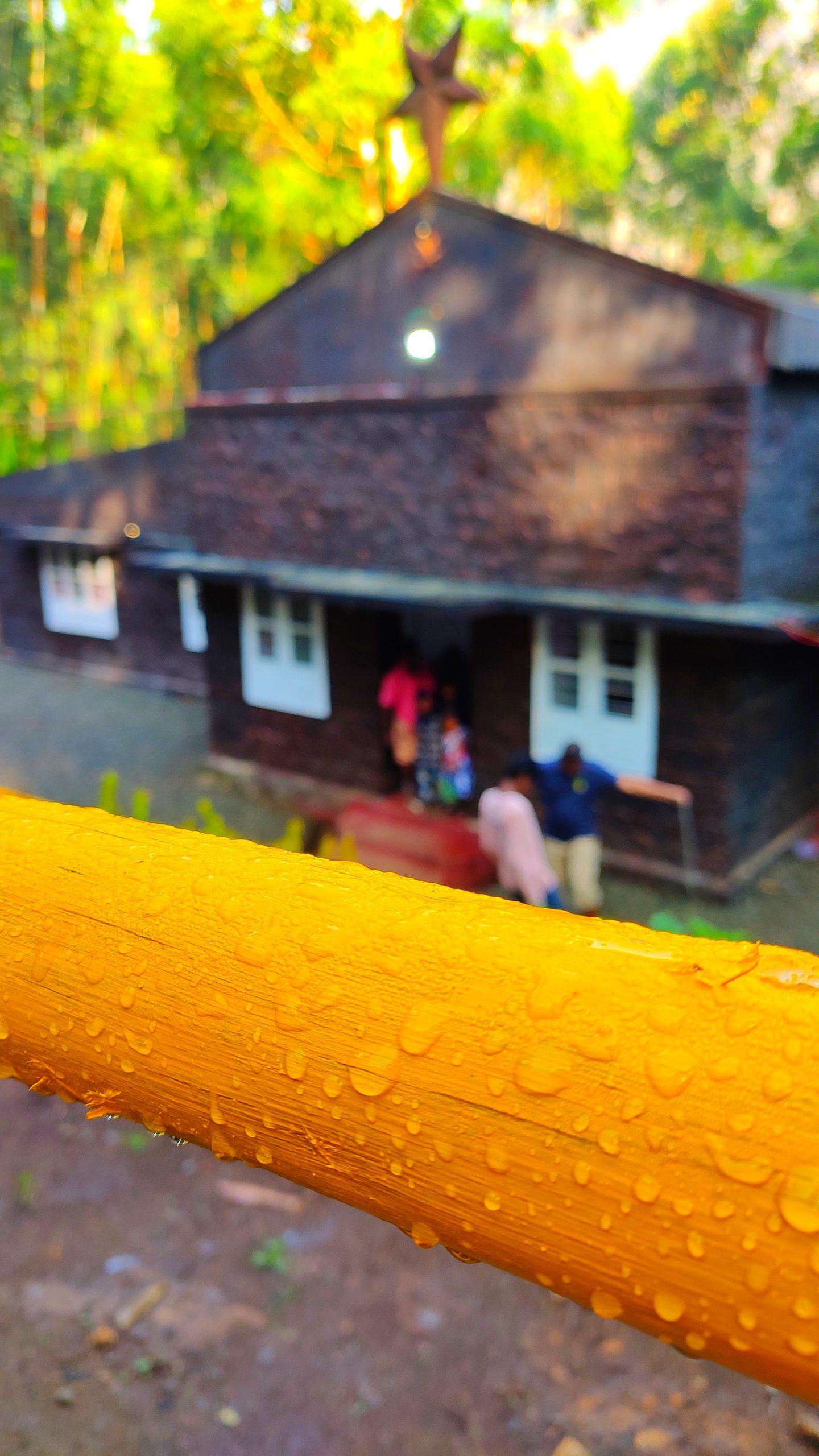 Dew on yellow bamboo