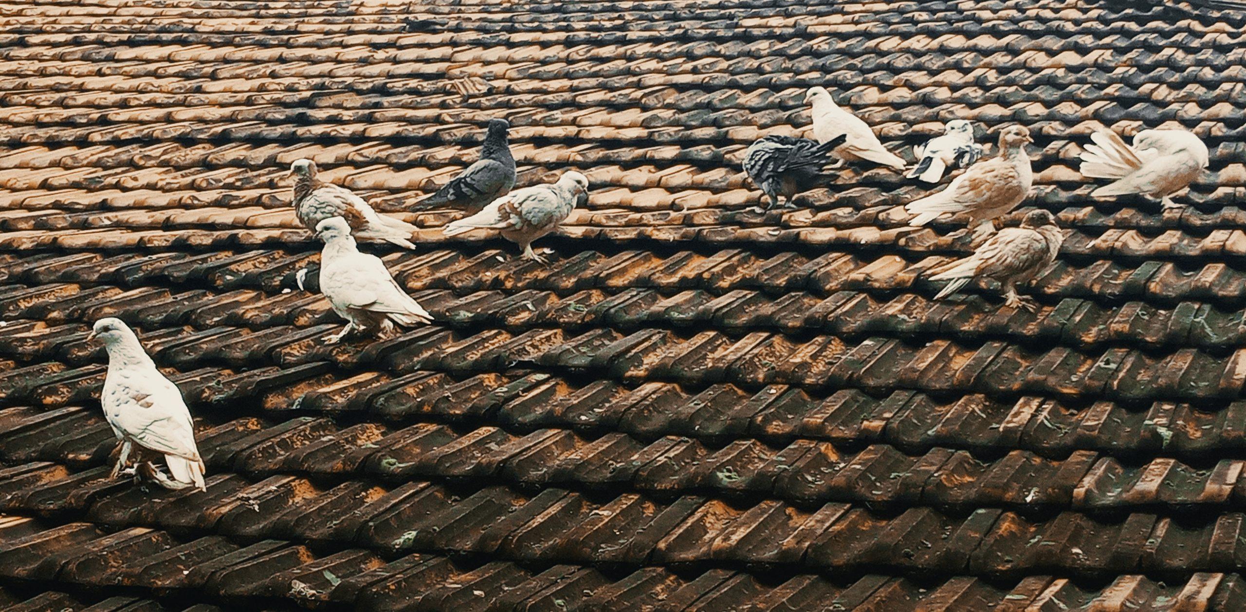 Pigeons on roof