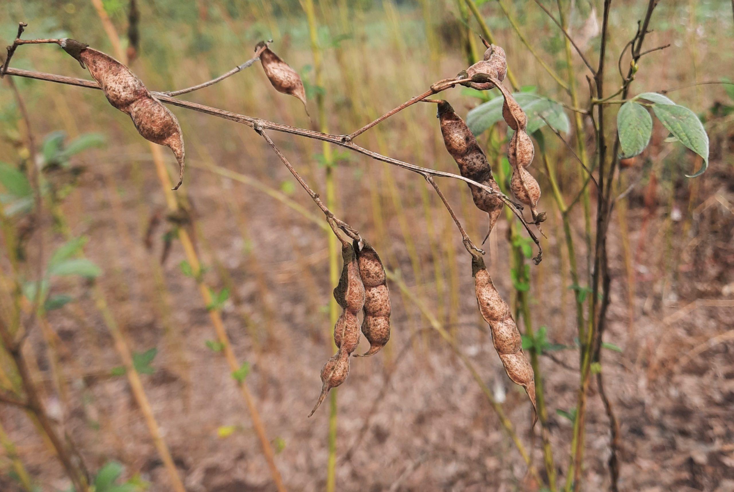 Dry legumes branch