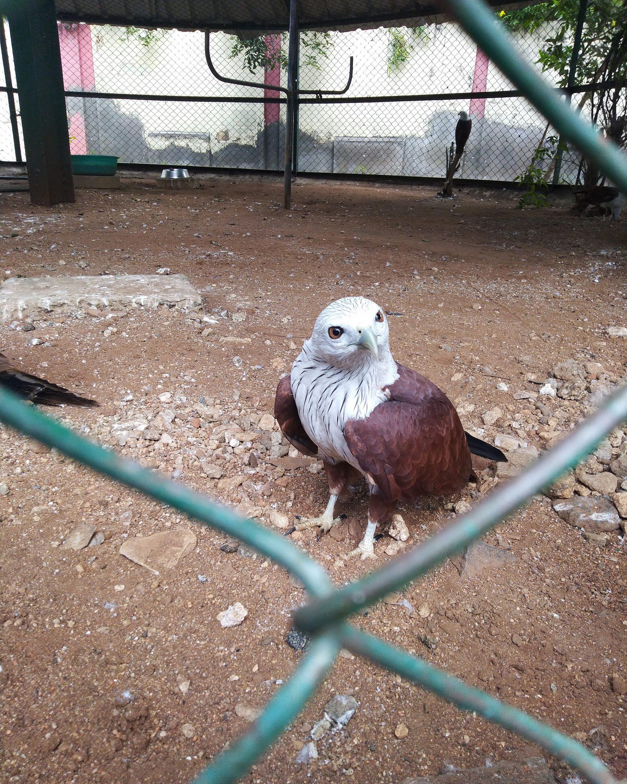 Eagle inside cage