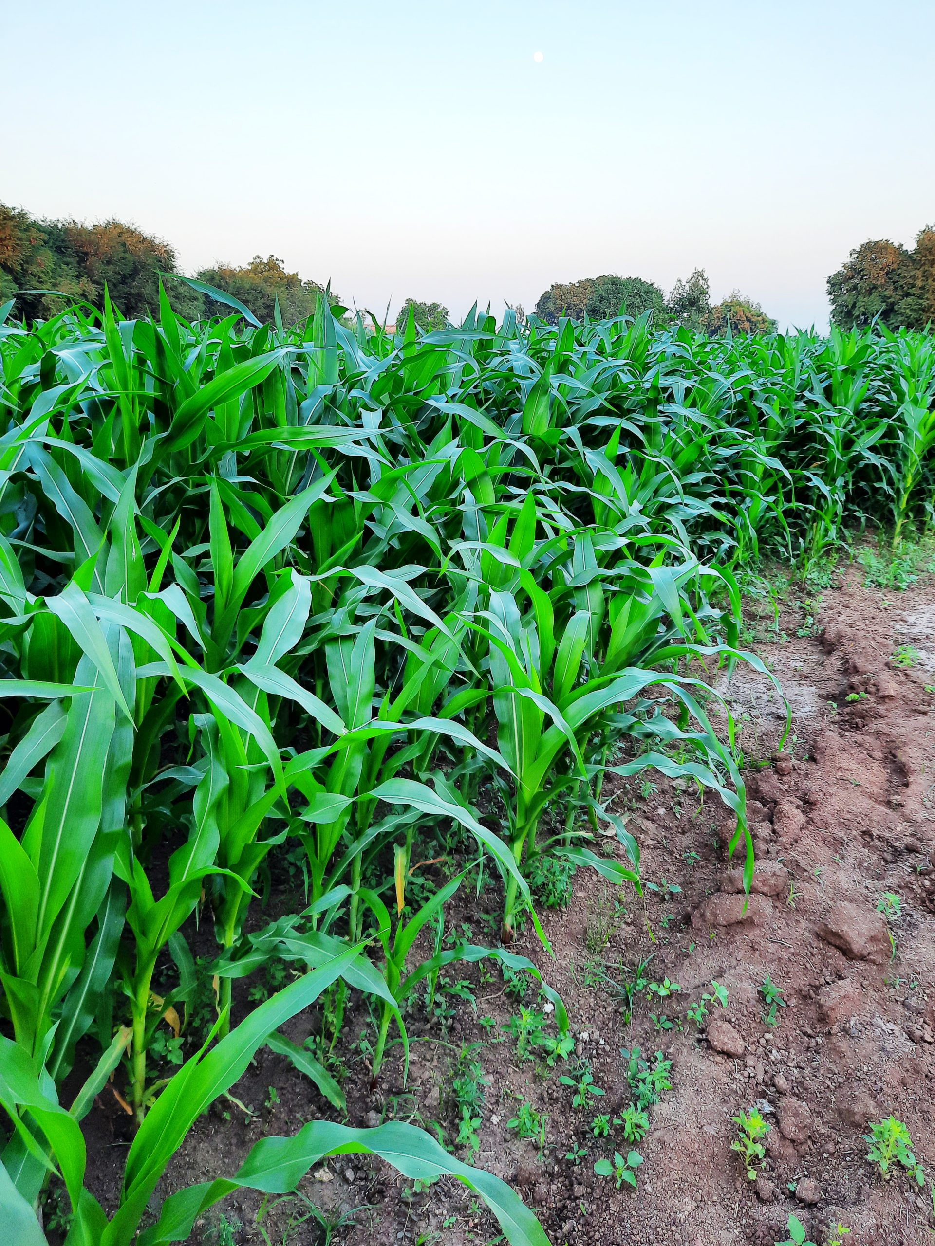 Maize plants in a field