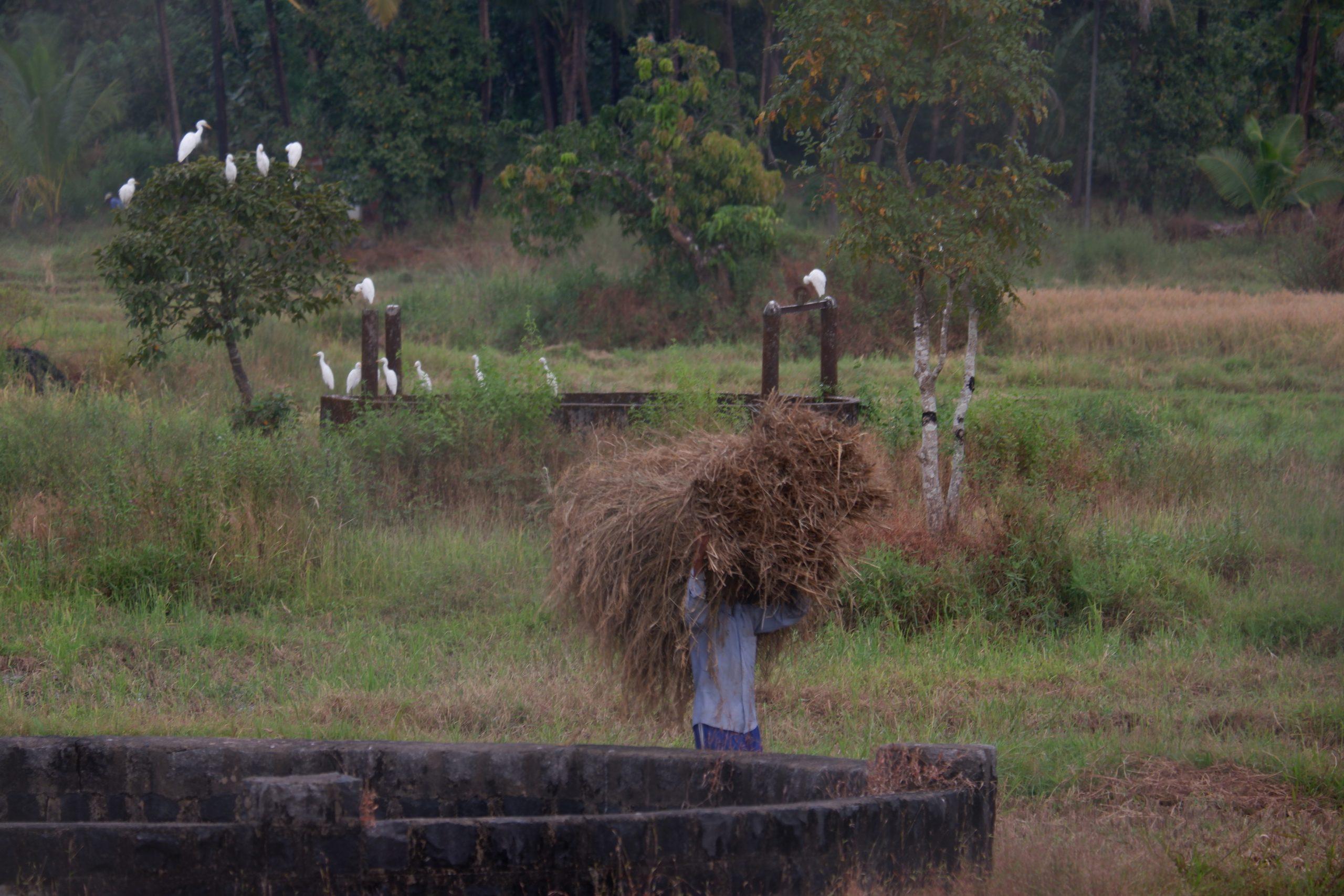 A farmer carrying fodder