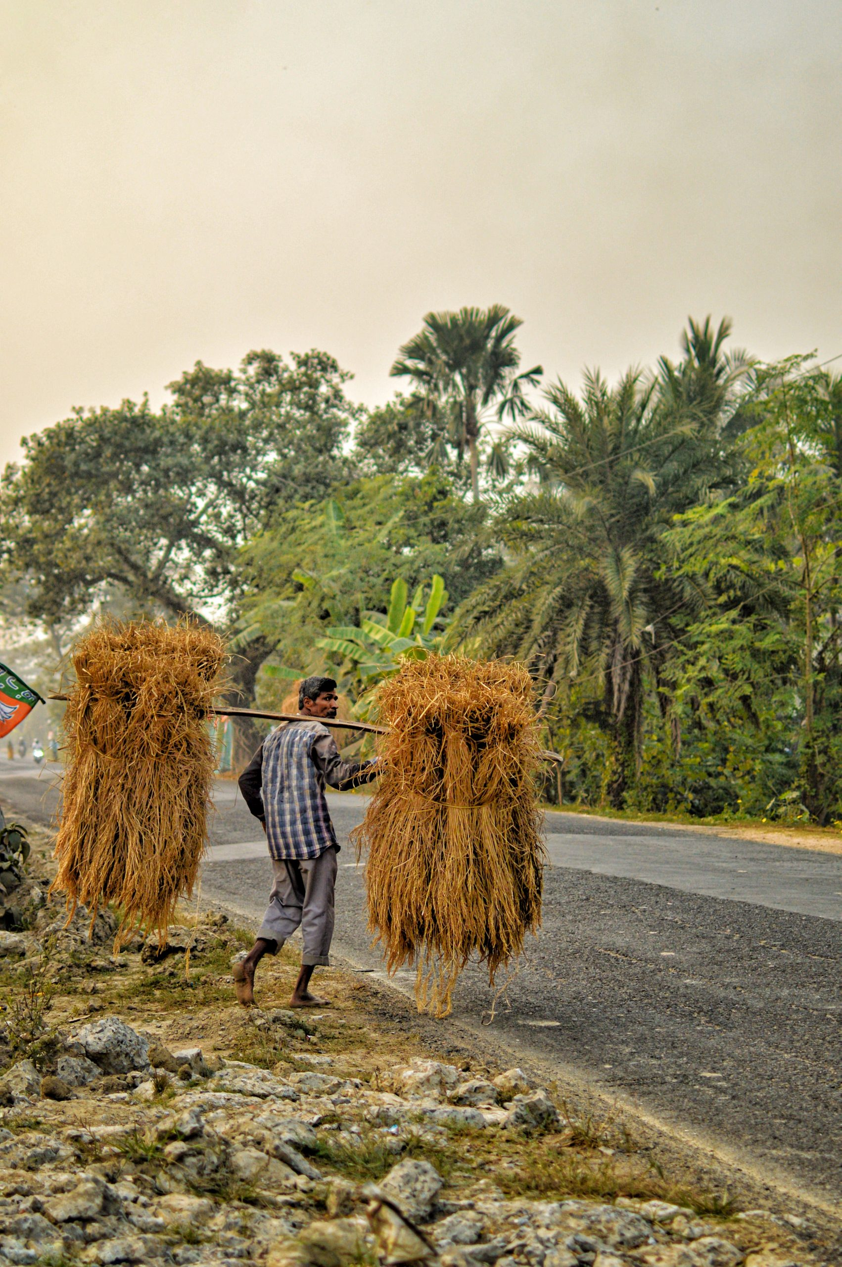 A farmer carrying dry crops on his shoulder