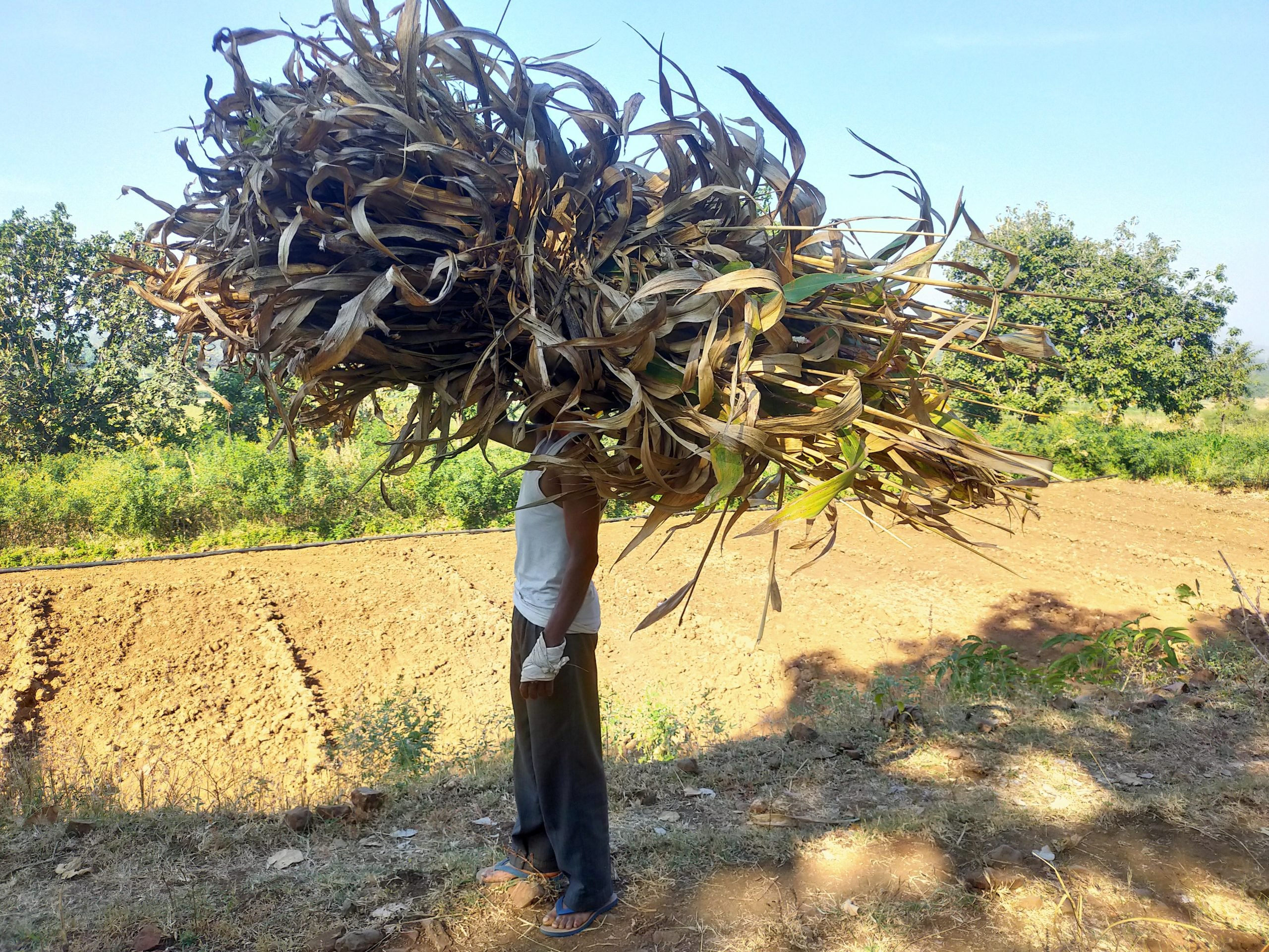 A farmer carrying animal fodder