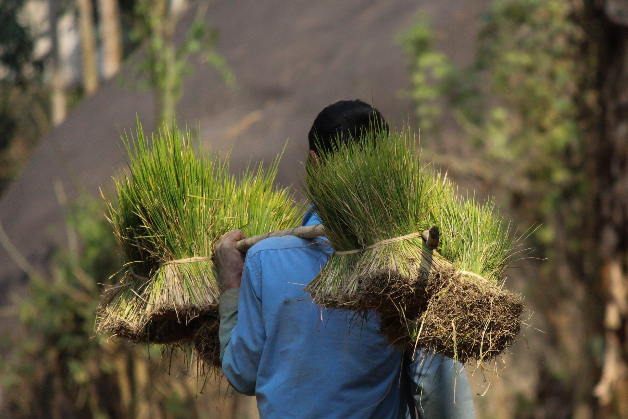 Farmer carrying seedlings