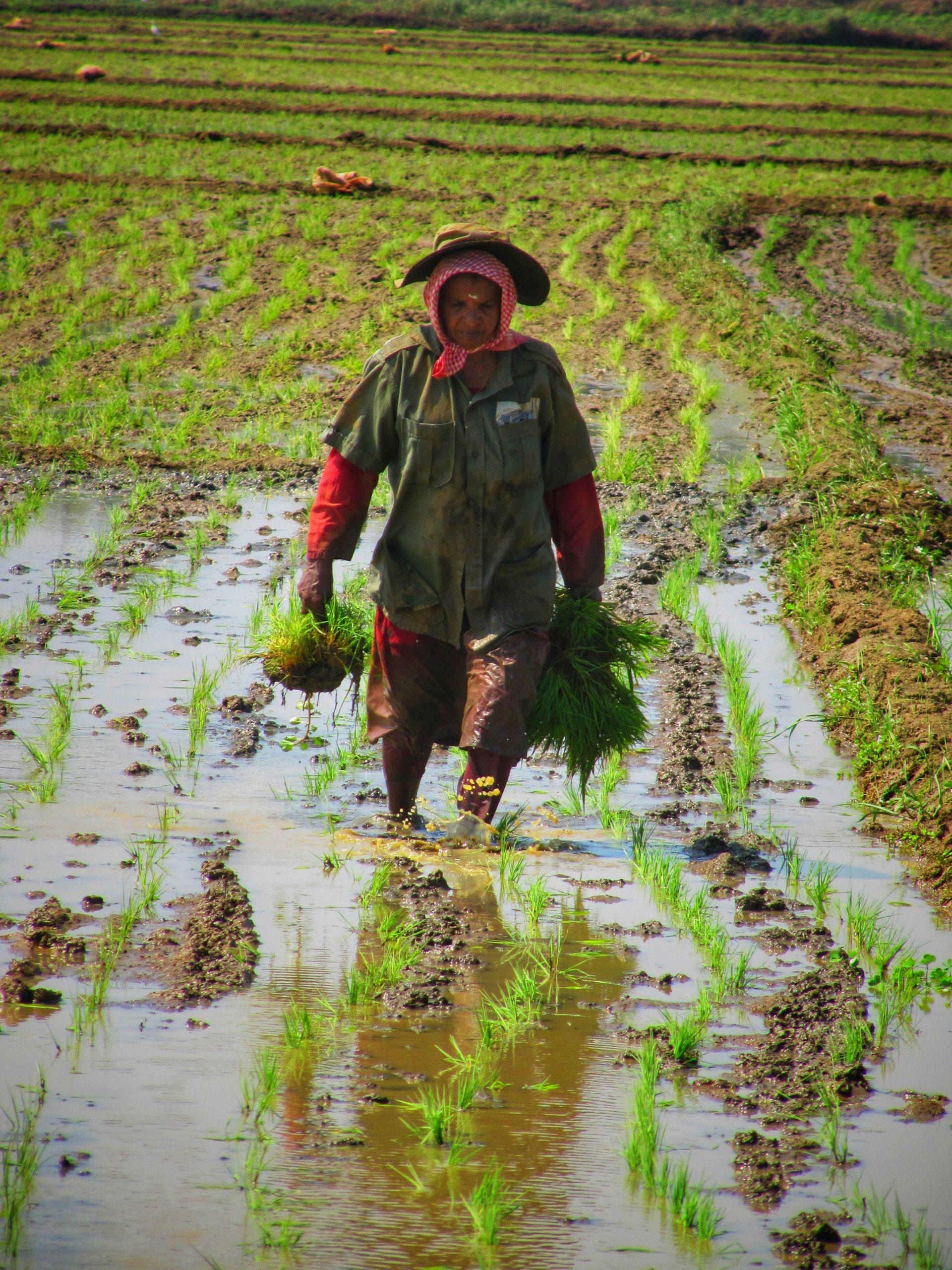 Farmer on Paddy field