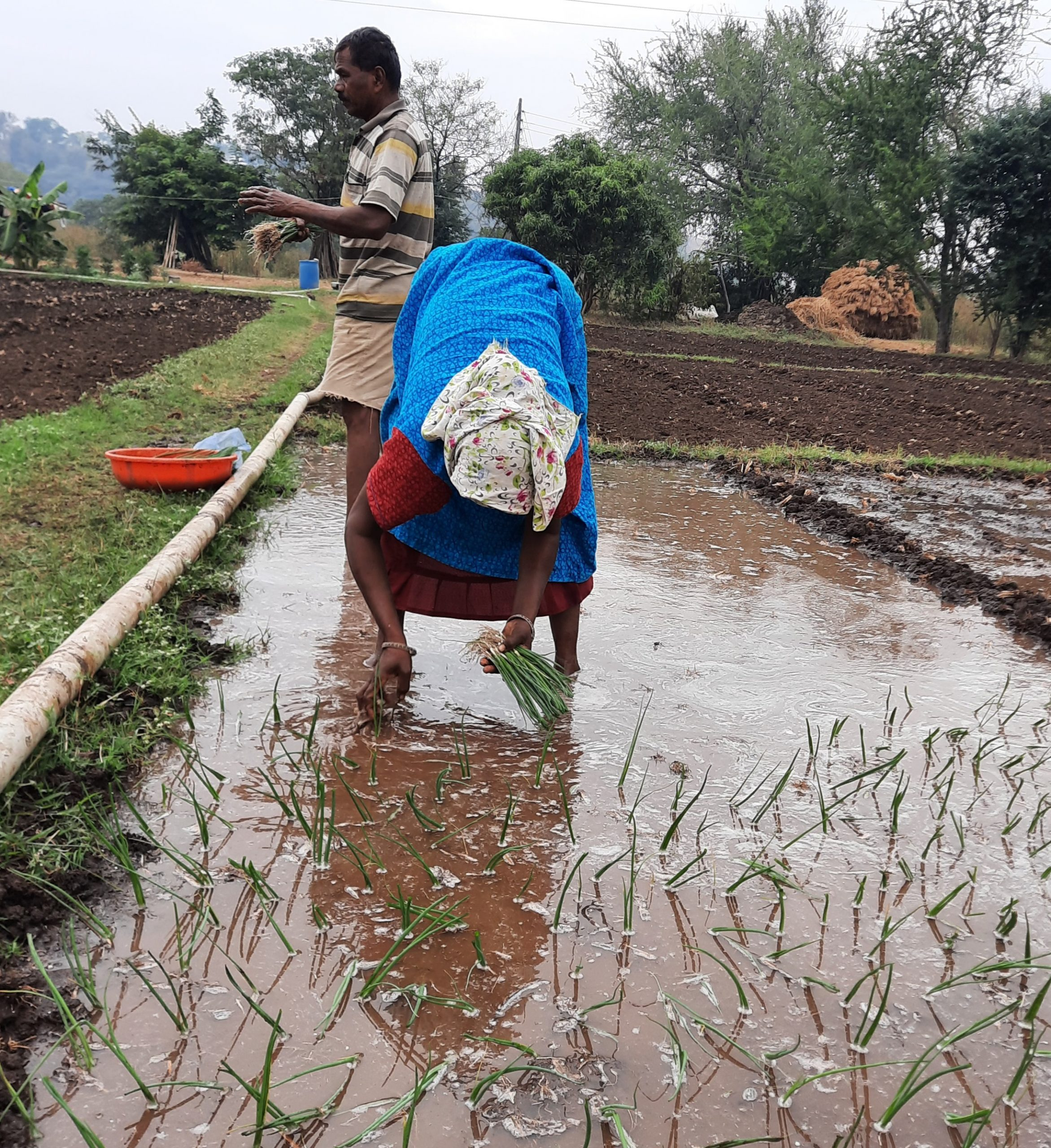 Farmers sowing onion plants