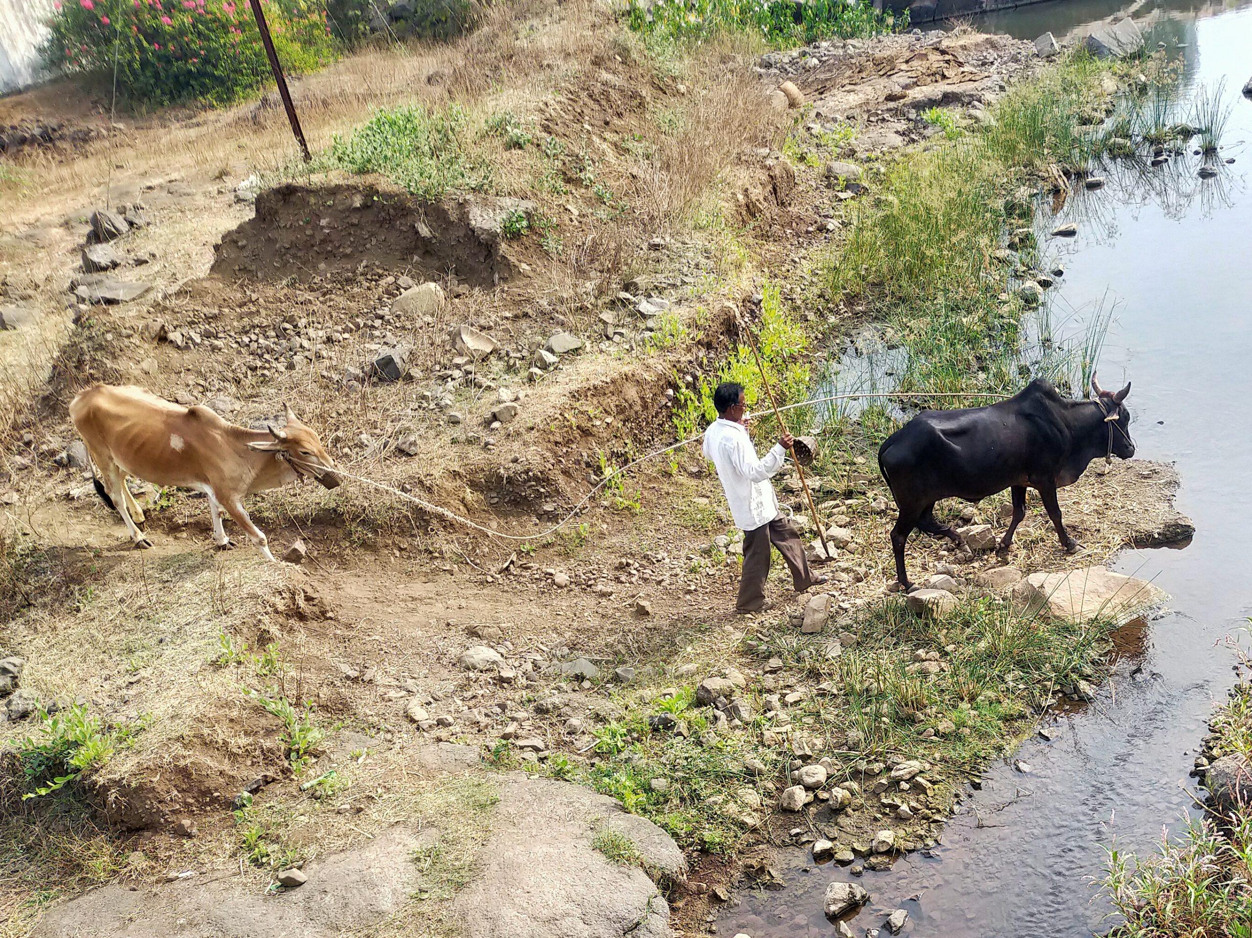Farmer with oxen near river