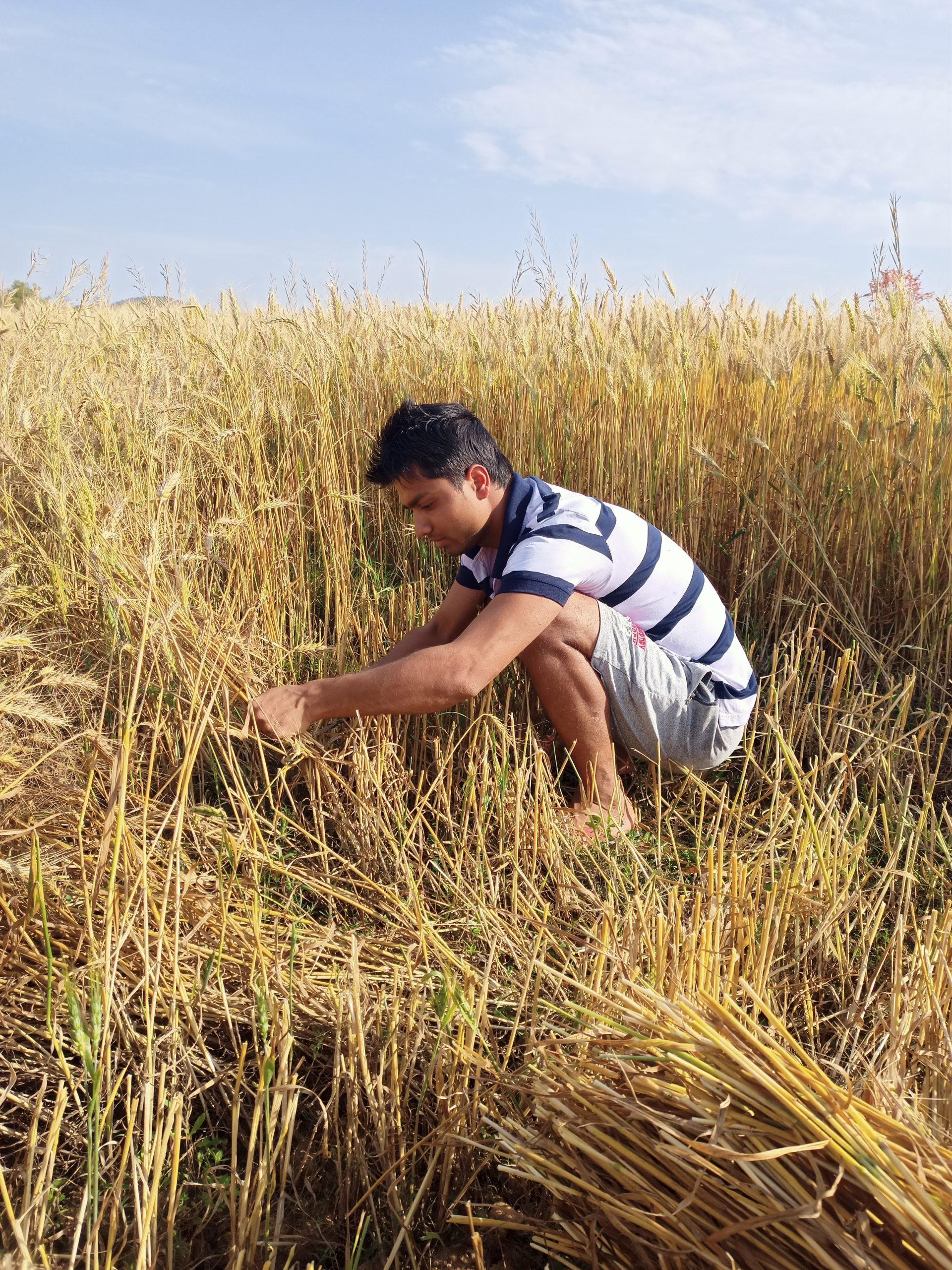 A farmer cutting wheat crops