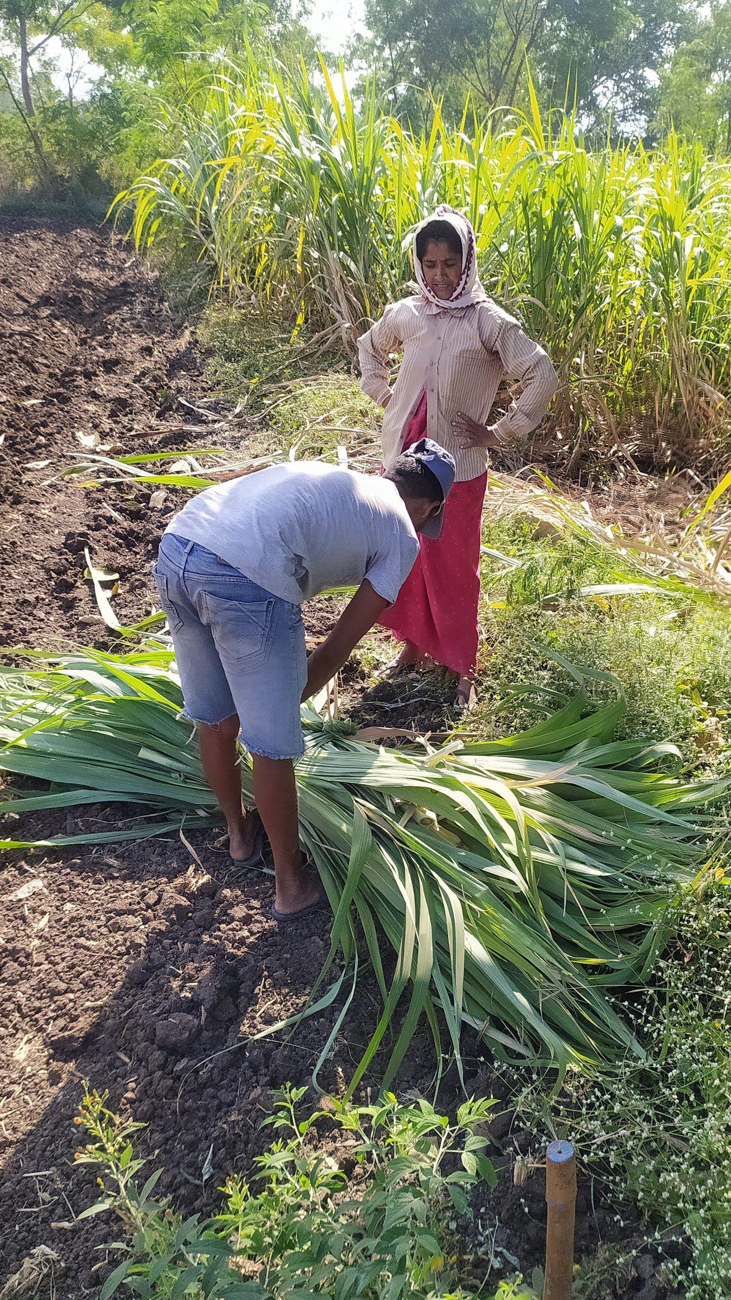 Farmers carrying sugarcane leaves