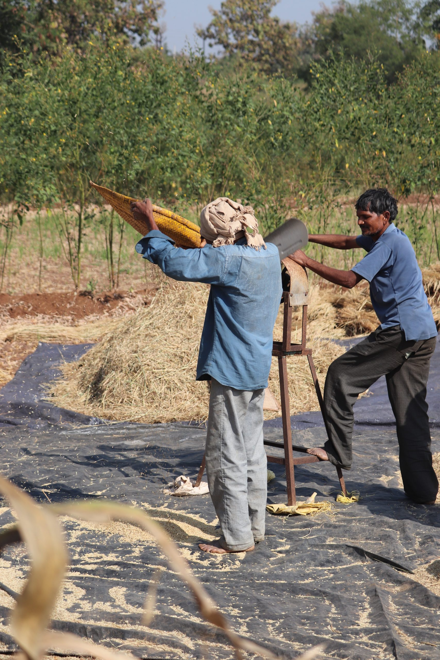 Farmers cleaning grains