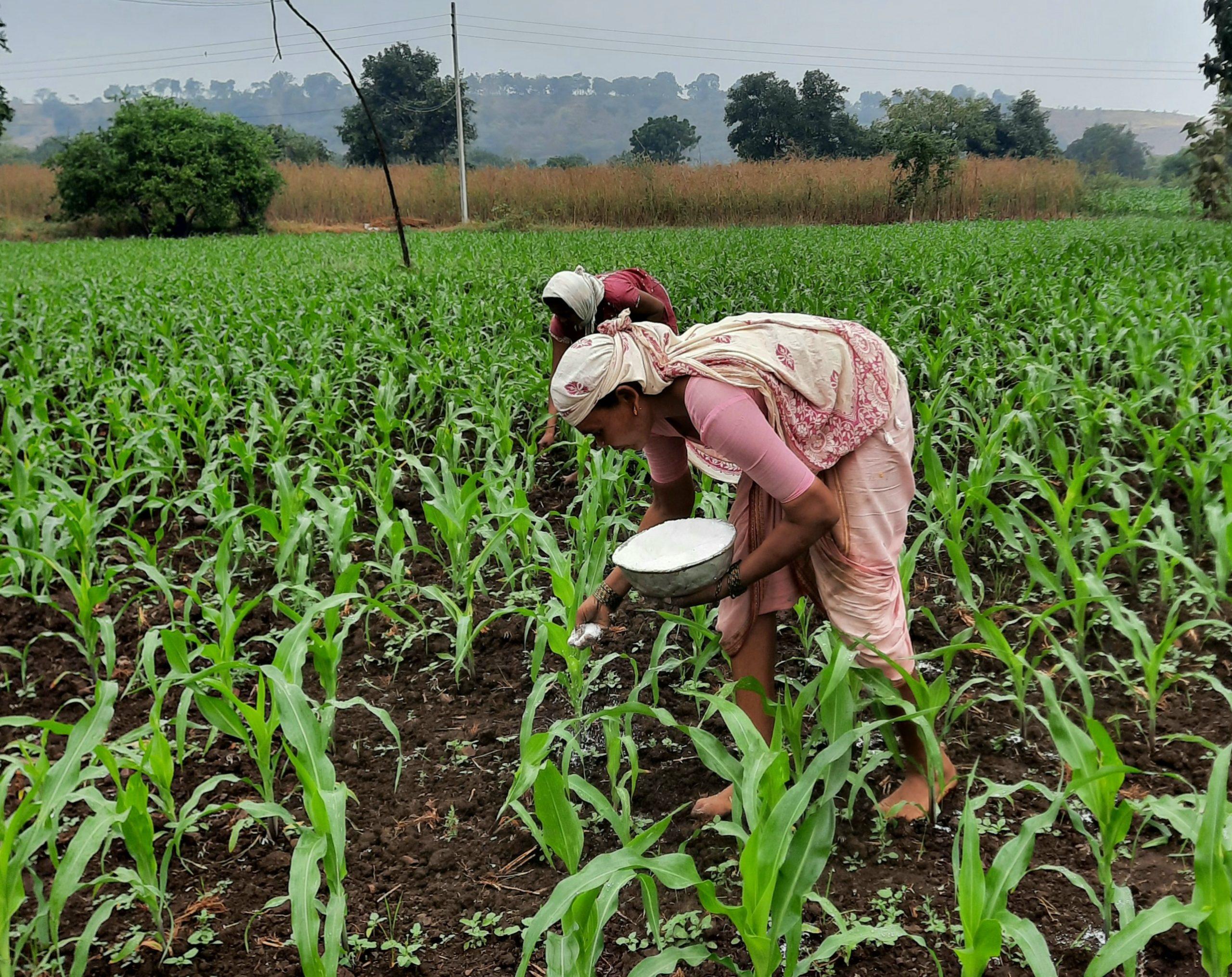 Farmers fertilizing maize plants