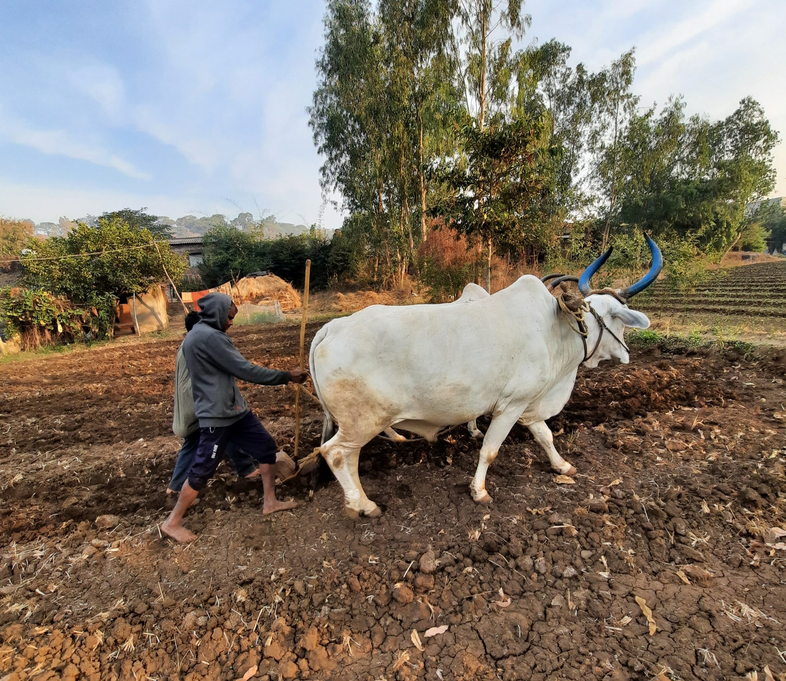 Farmers plough the field with oxen